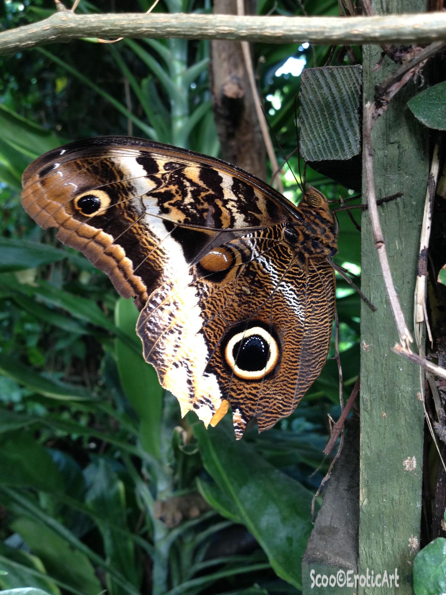 Morpho Blue Butterfly by ScooEroticArt