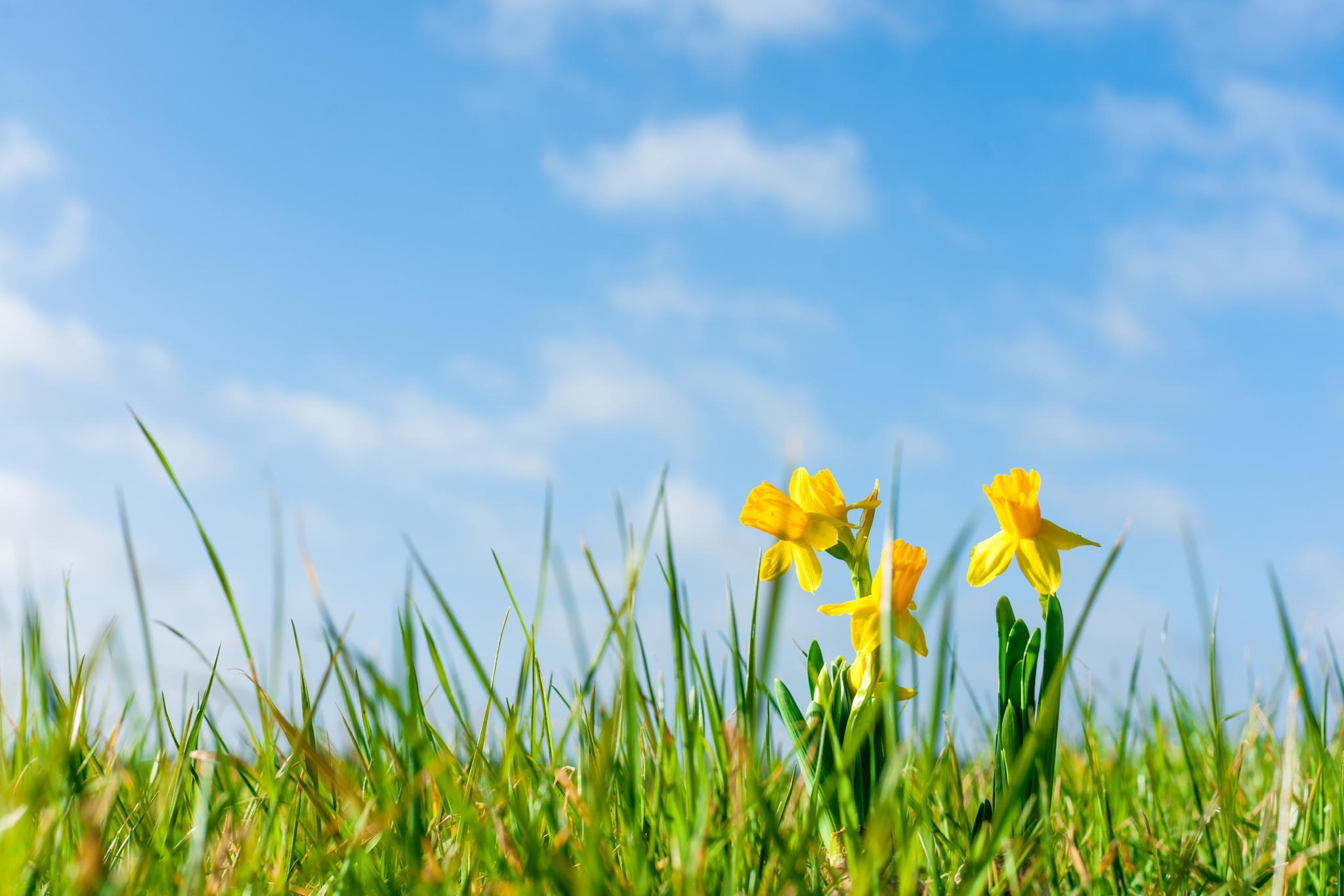 Daffodils by Kasper Nymann