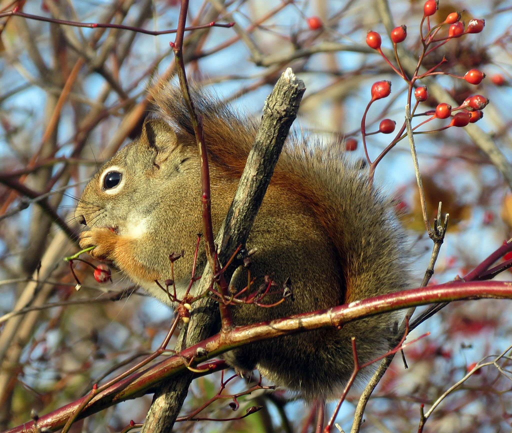 Squirrel Close Up 3 by Harold L Doherty