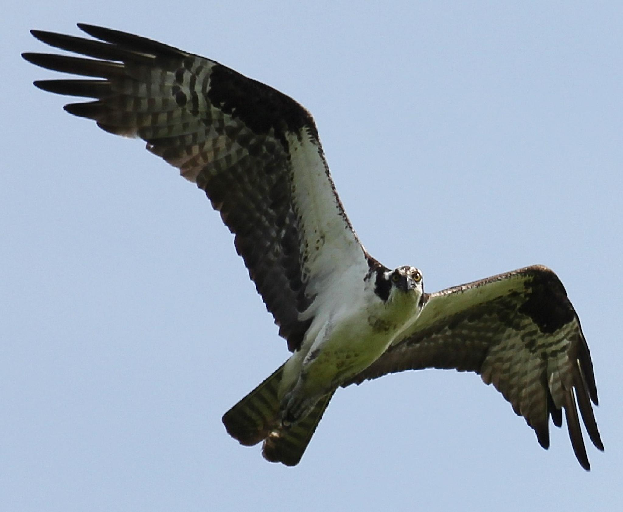 Osprey Looking At The Camera Guy by Harold L Doherty