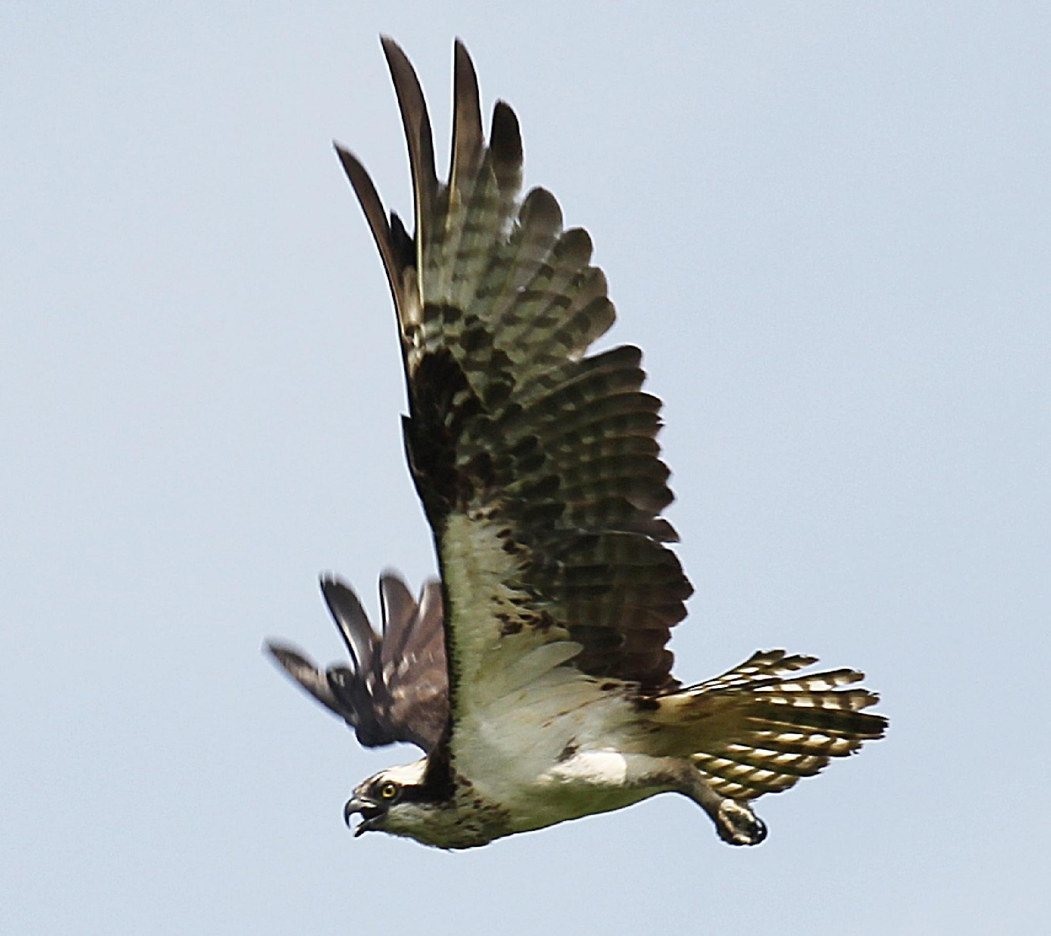 Osprey In Flight by Harold L Doherty
