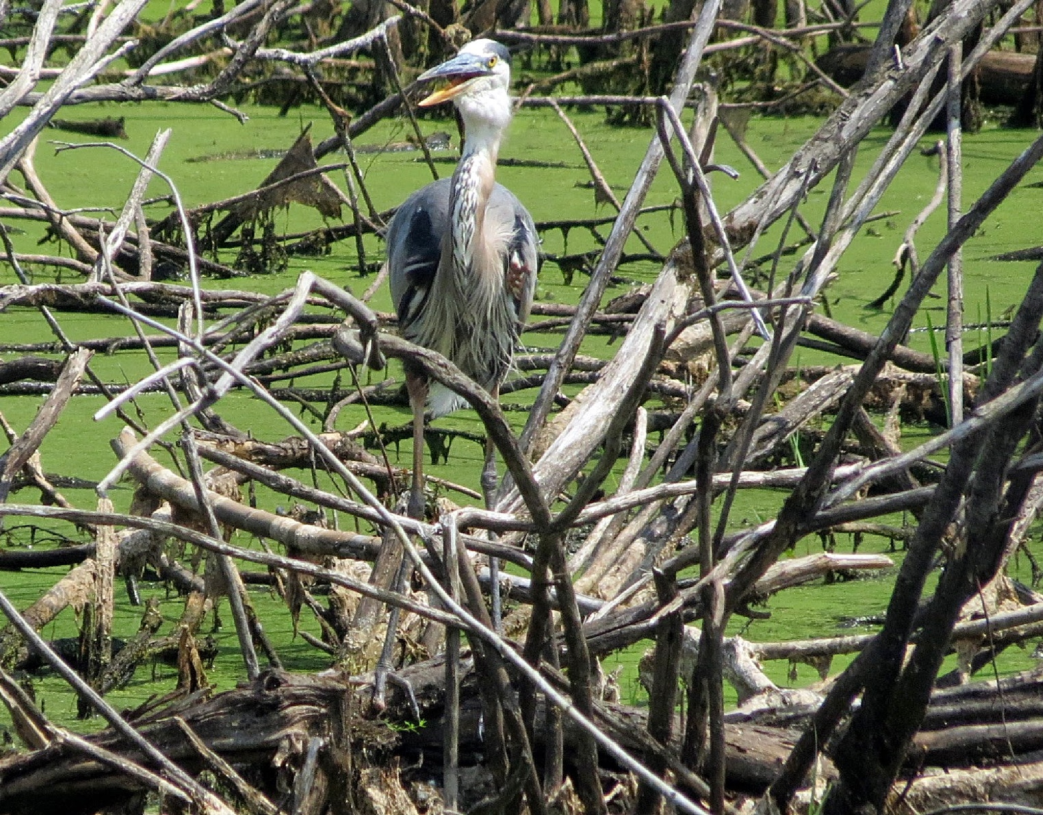 Great Blue Heron In A Good Mood by Harold L Doherty