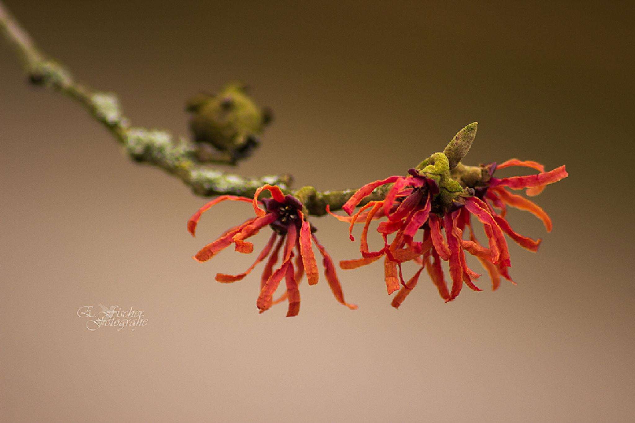 *Red Witch Hazel* by evelyn.fischer.61