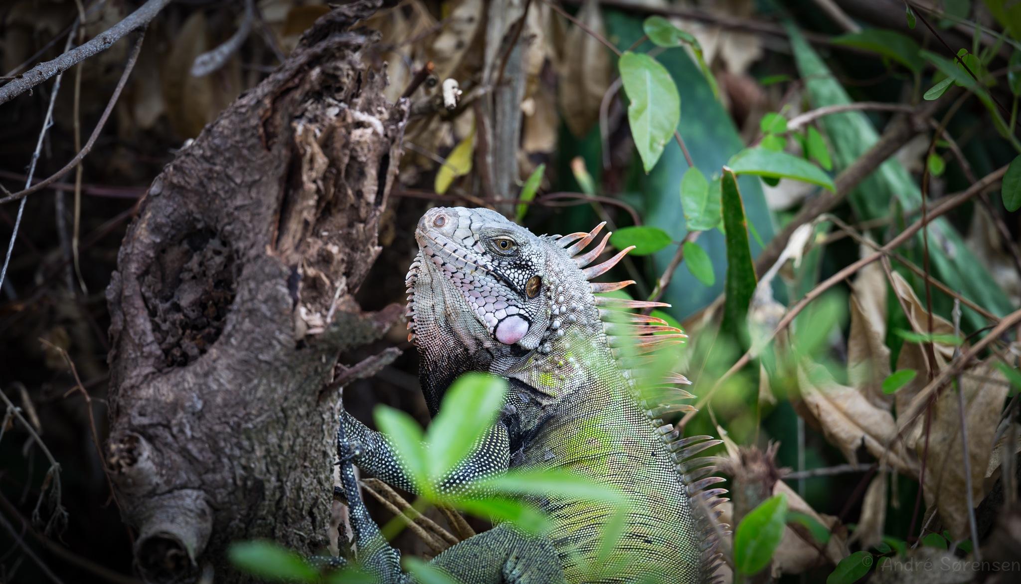 Iguana St. Croix USVI by André Soerensen