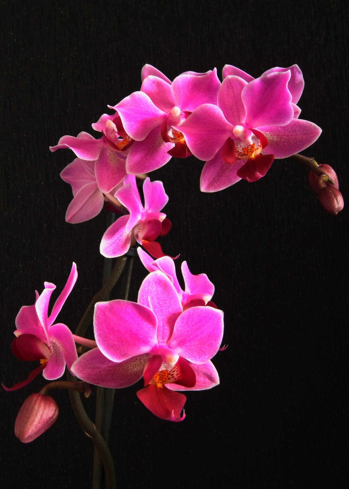 Orchid 3 by chris.stubbings.52