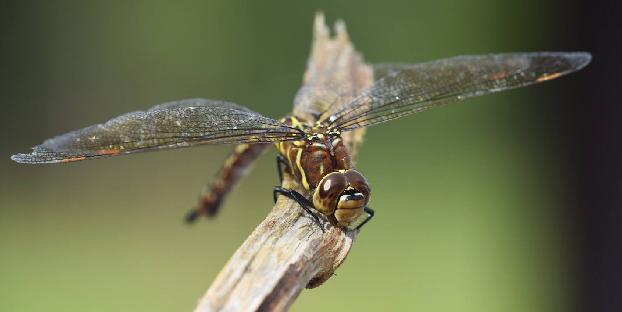 dragonfly  by michael.choppen