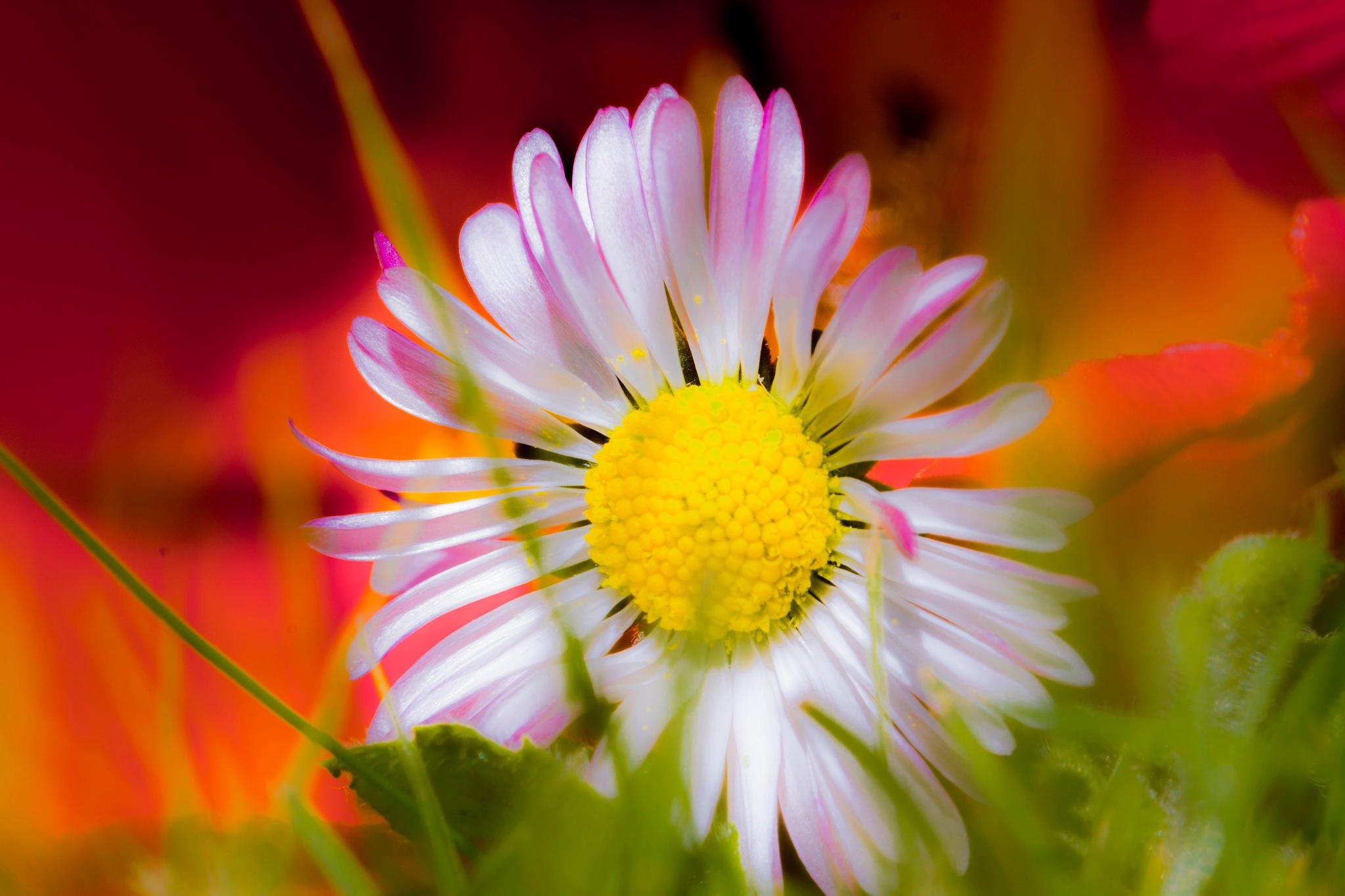 spring Daisy by myra.watson3