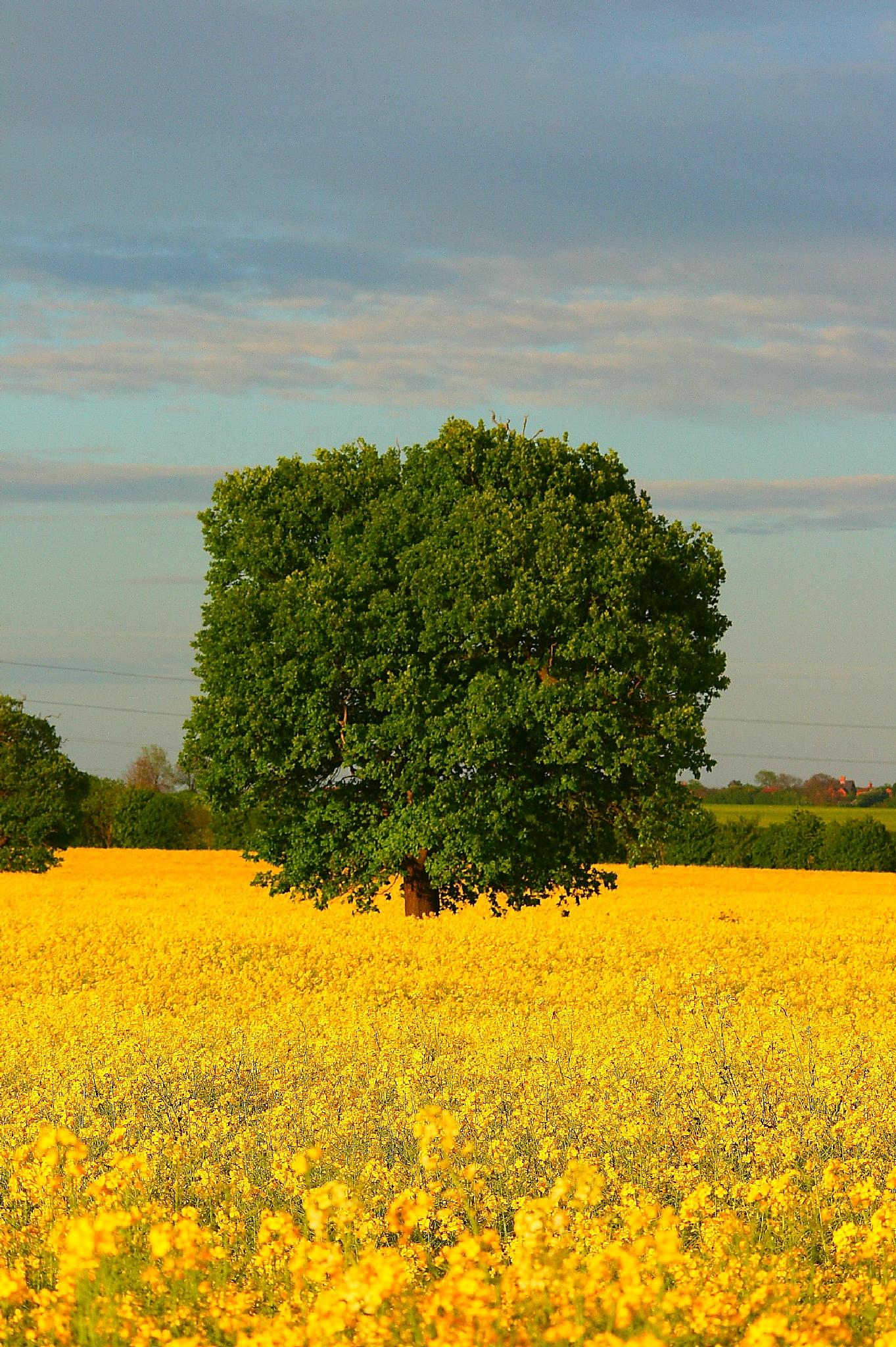 In a sea of yellow by keve E