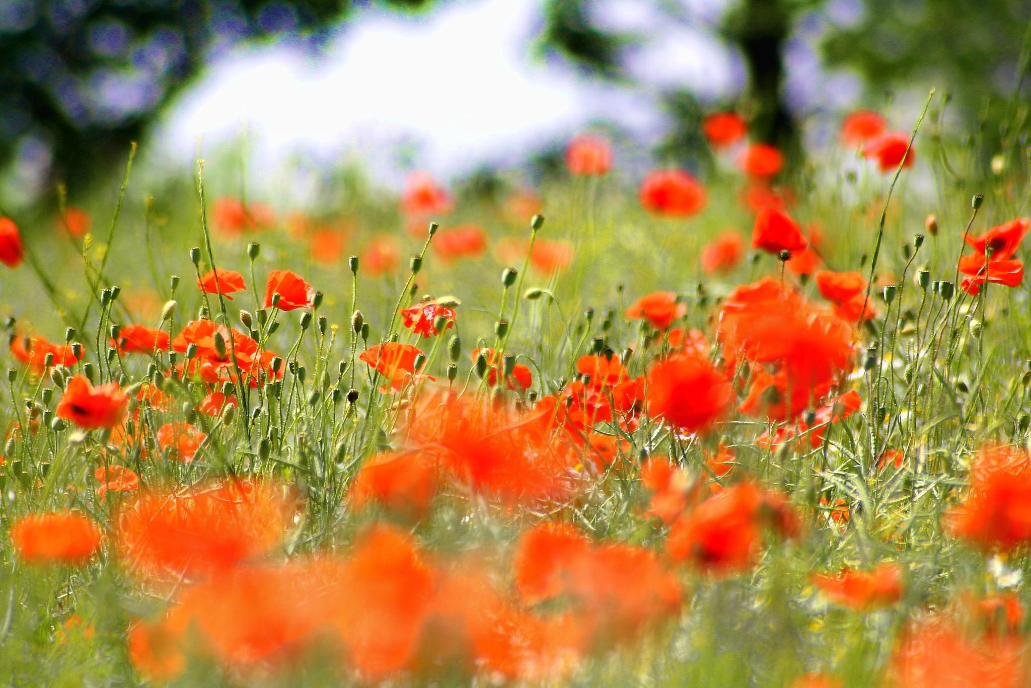 Poppy fields  by keve E