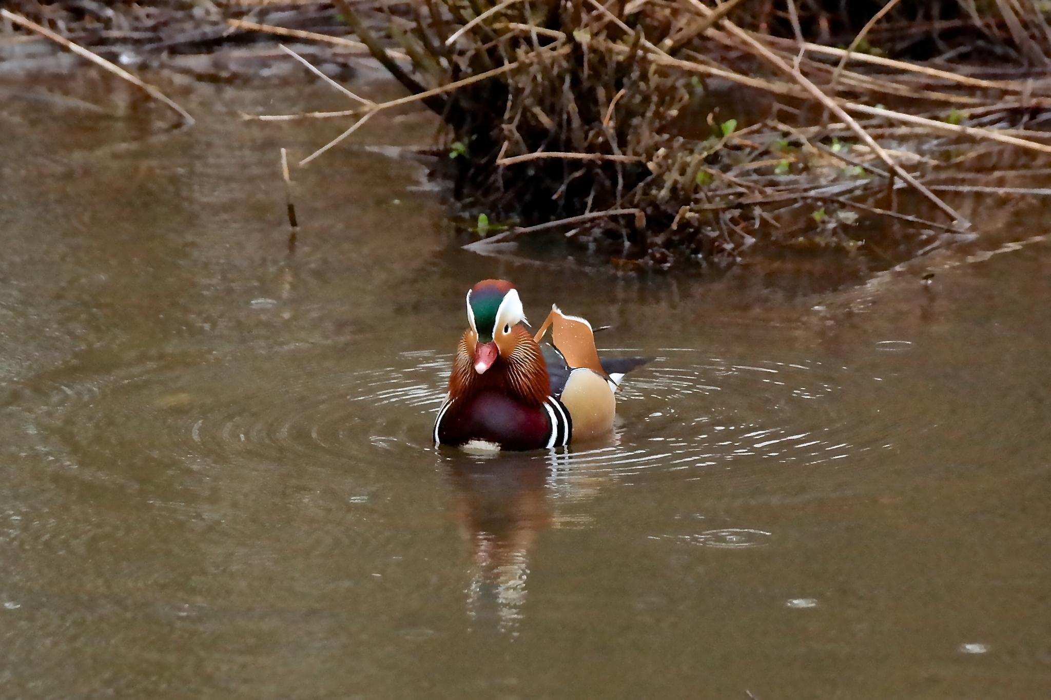 mandarin duck by leigh.hudson.779