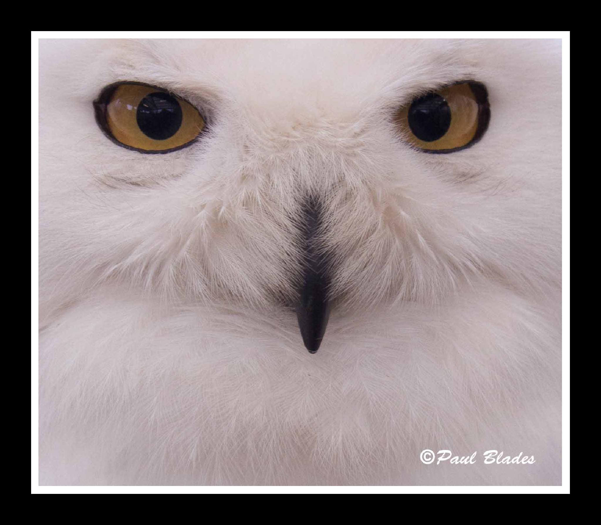 Snowy Owl by paul blades