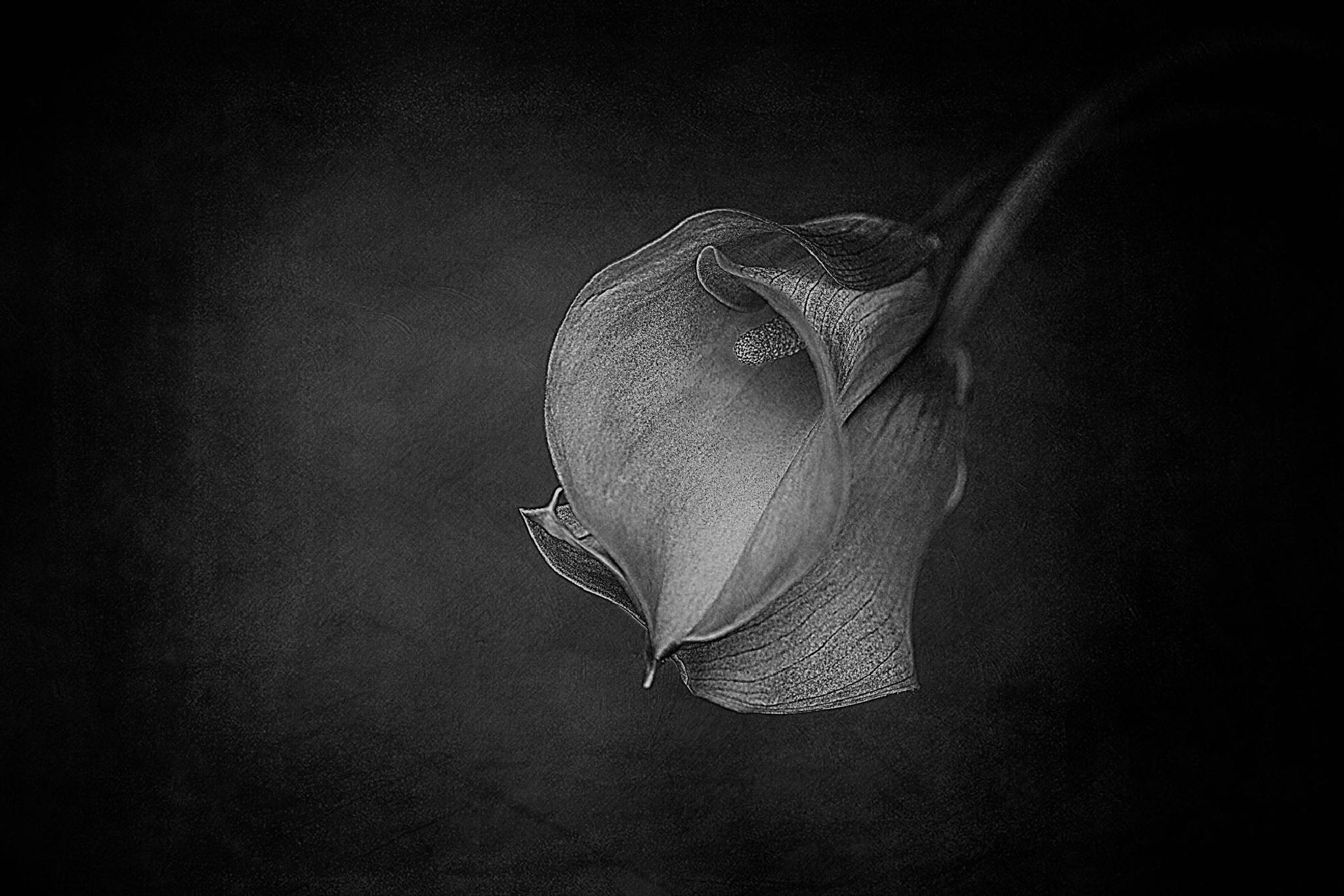 Calla Lilies by clinthudson