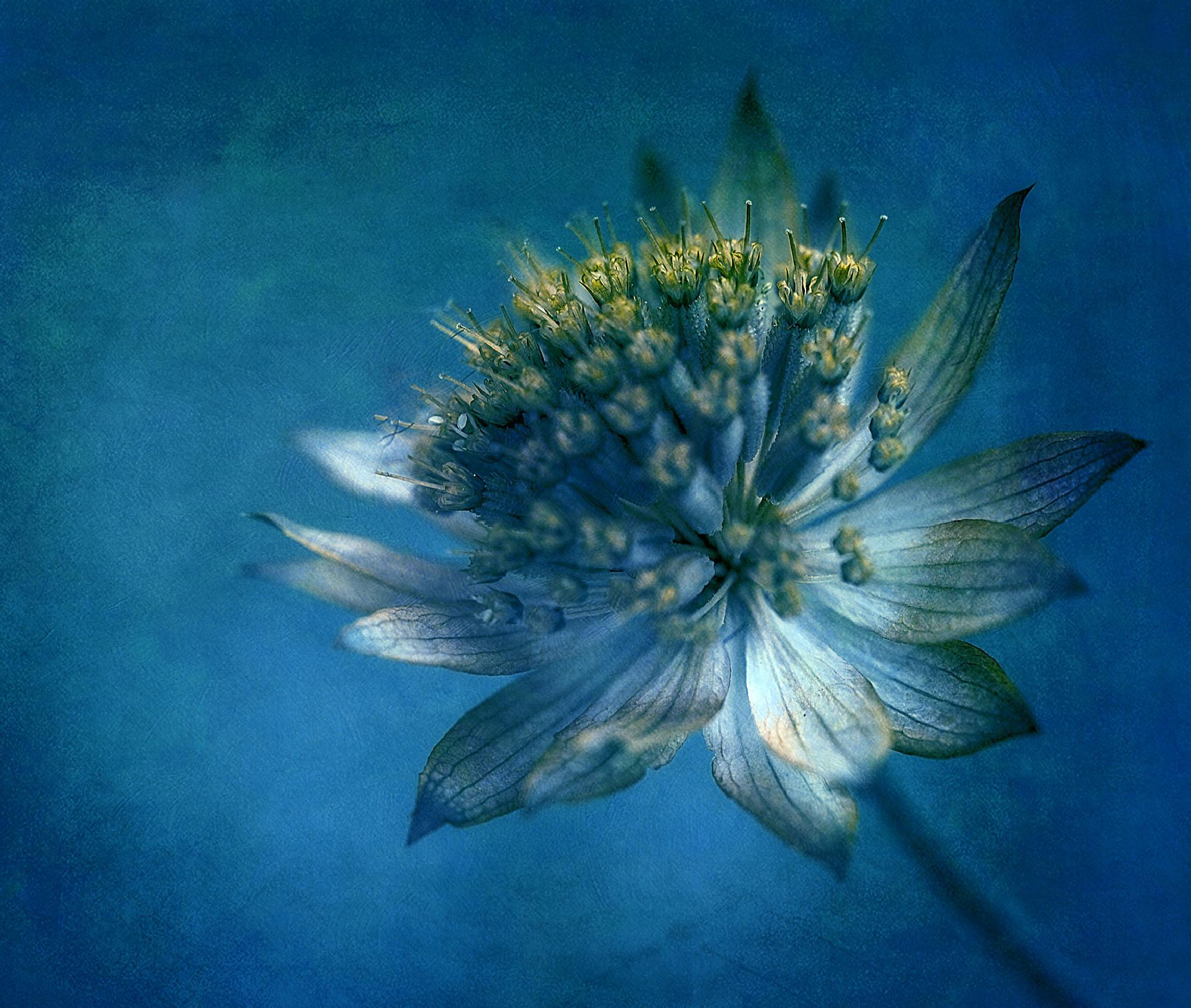 Astrantia by clinthudson