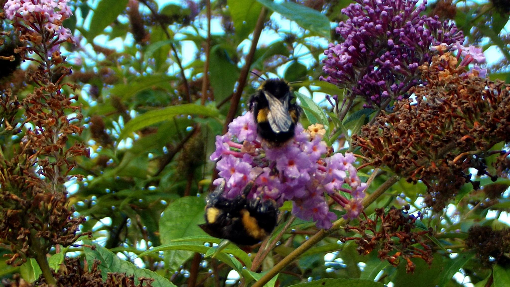 BEES by ksanger1