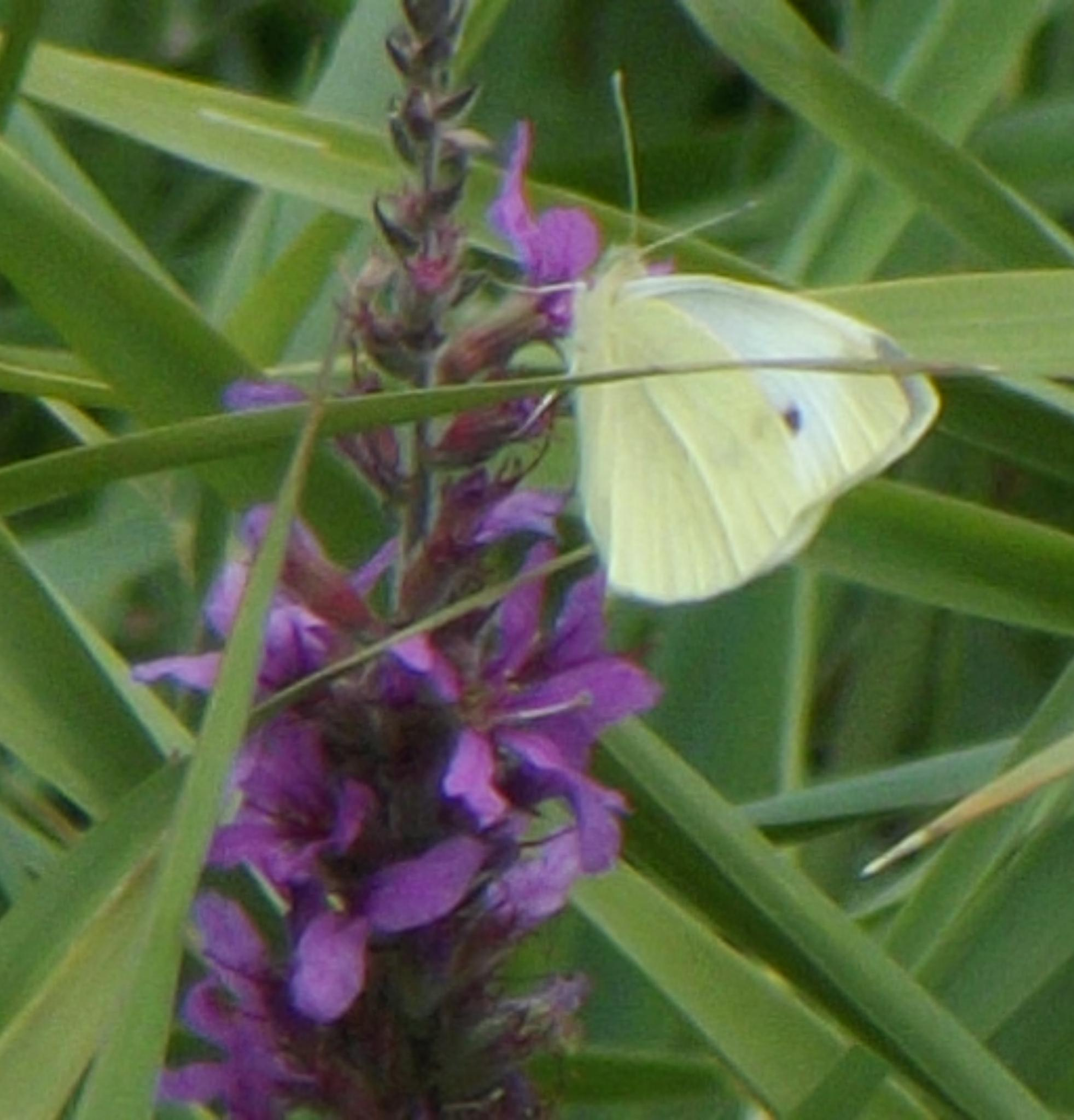 cabbage white by ksanger1