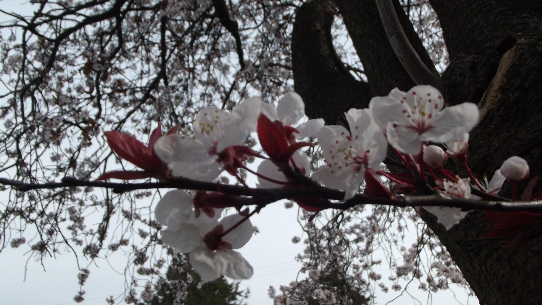 spring blossom by ksanger1