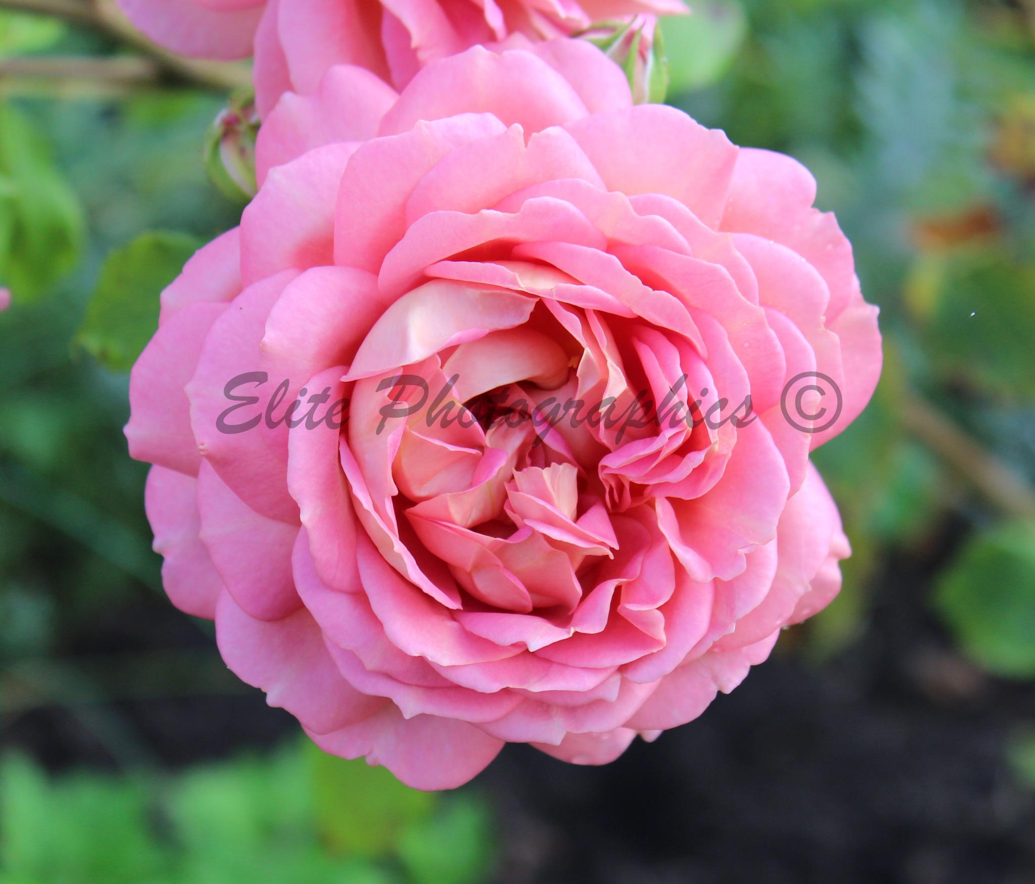 Pink Rose by LISA WEBB