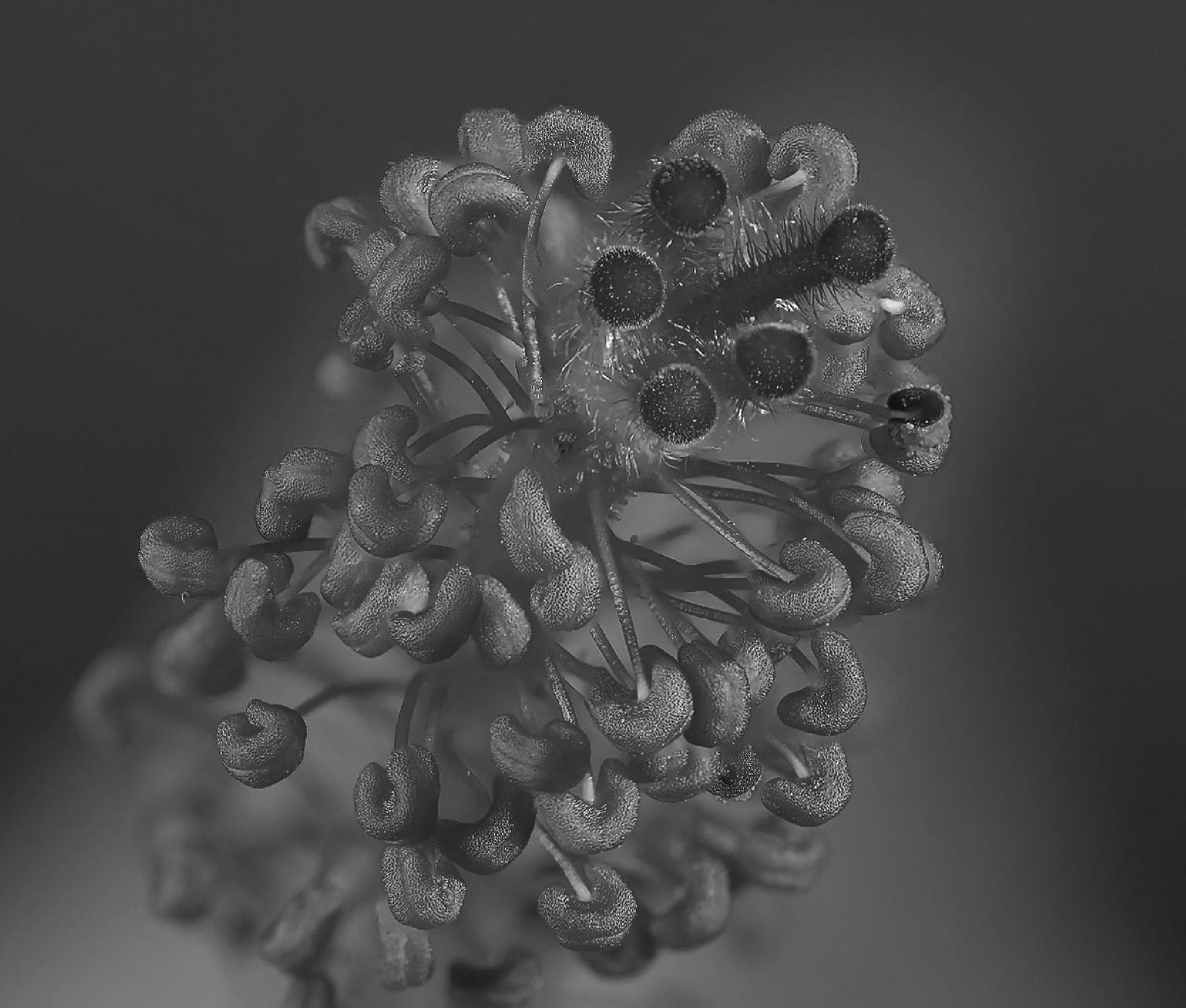 Hibiscus pistil by cristian.negrus