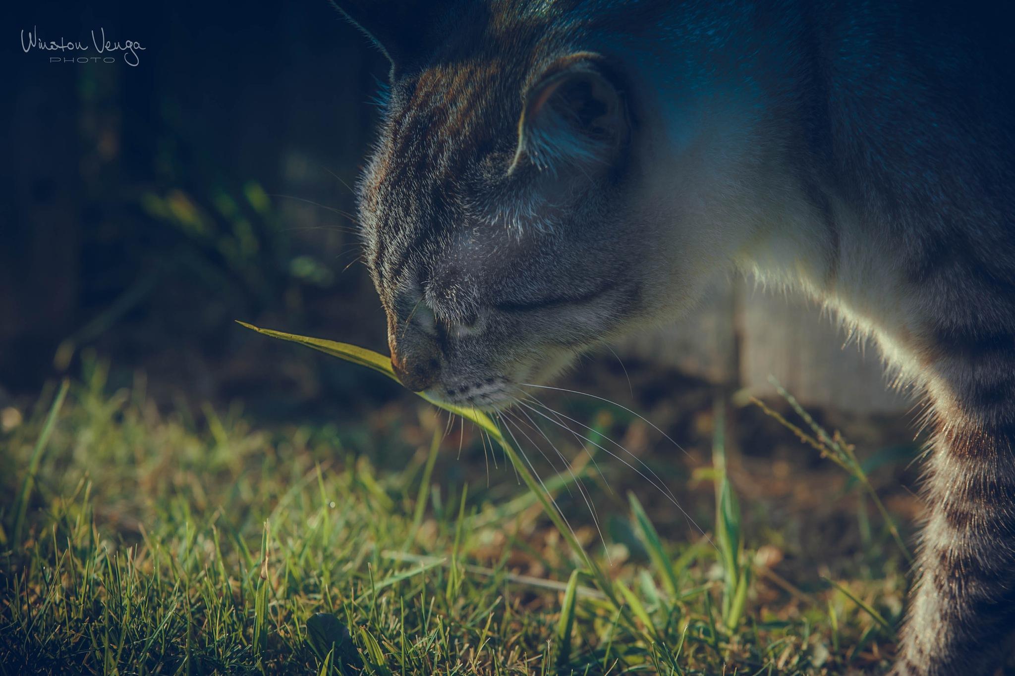 Gato Comendo Grama by Winston Venga