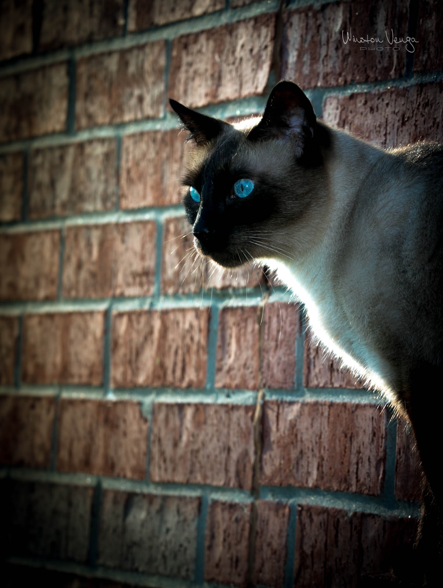 Gato na Parede de Tijolos by Winston Venga