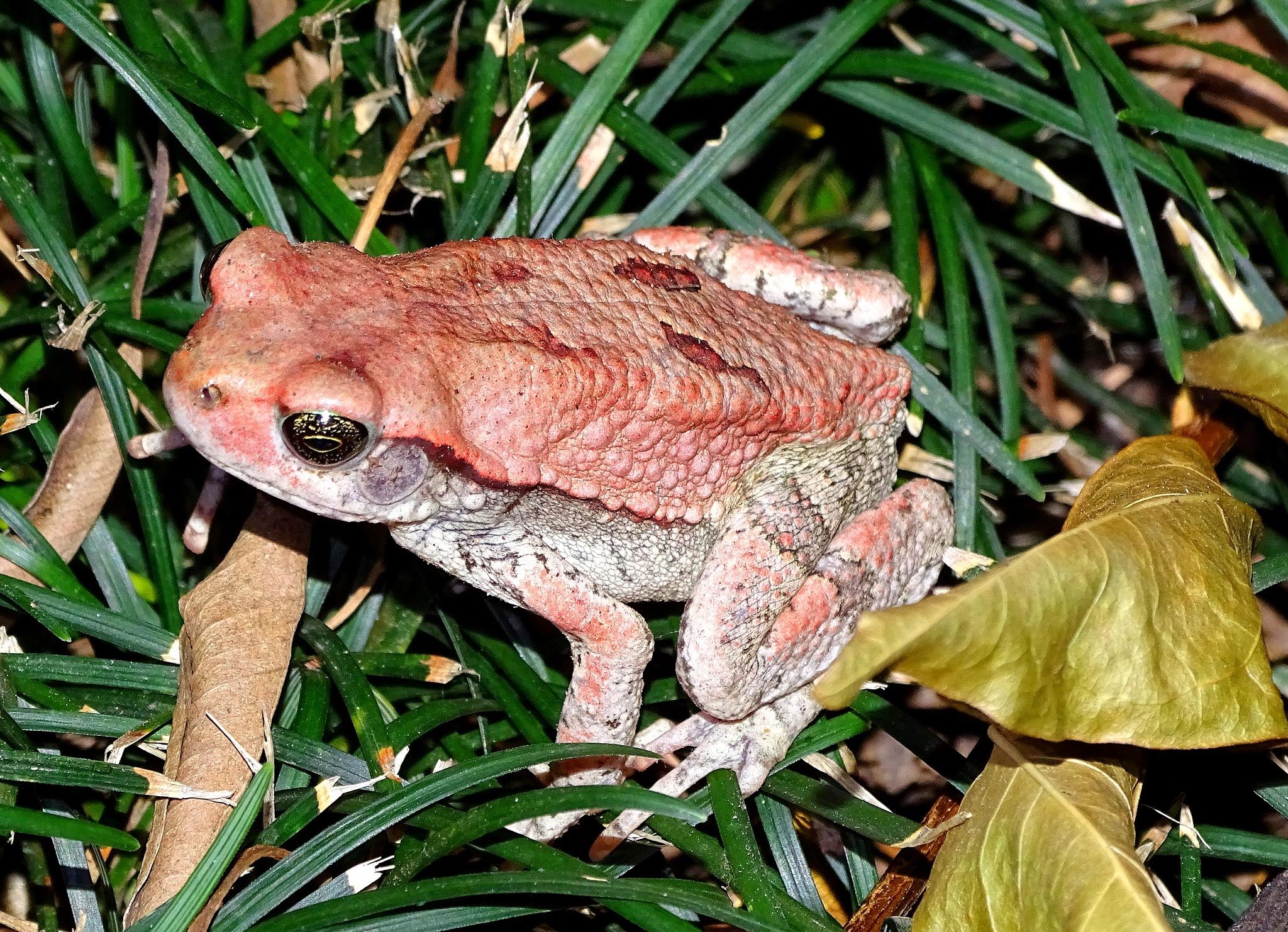 Red toad by Mariëlla van der Lans-Schosswald