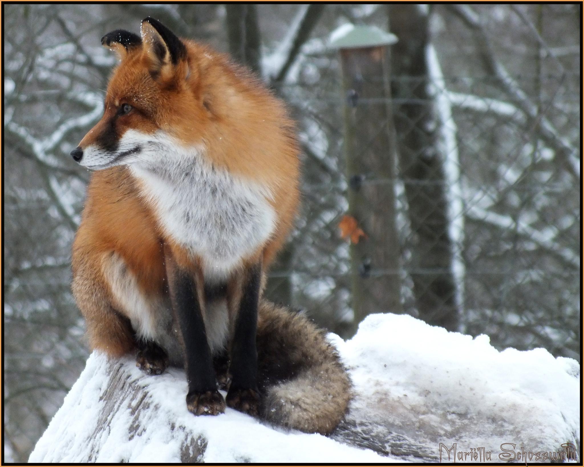 watchful fox by Mariëlla van der Lans-Schosswald