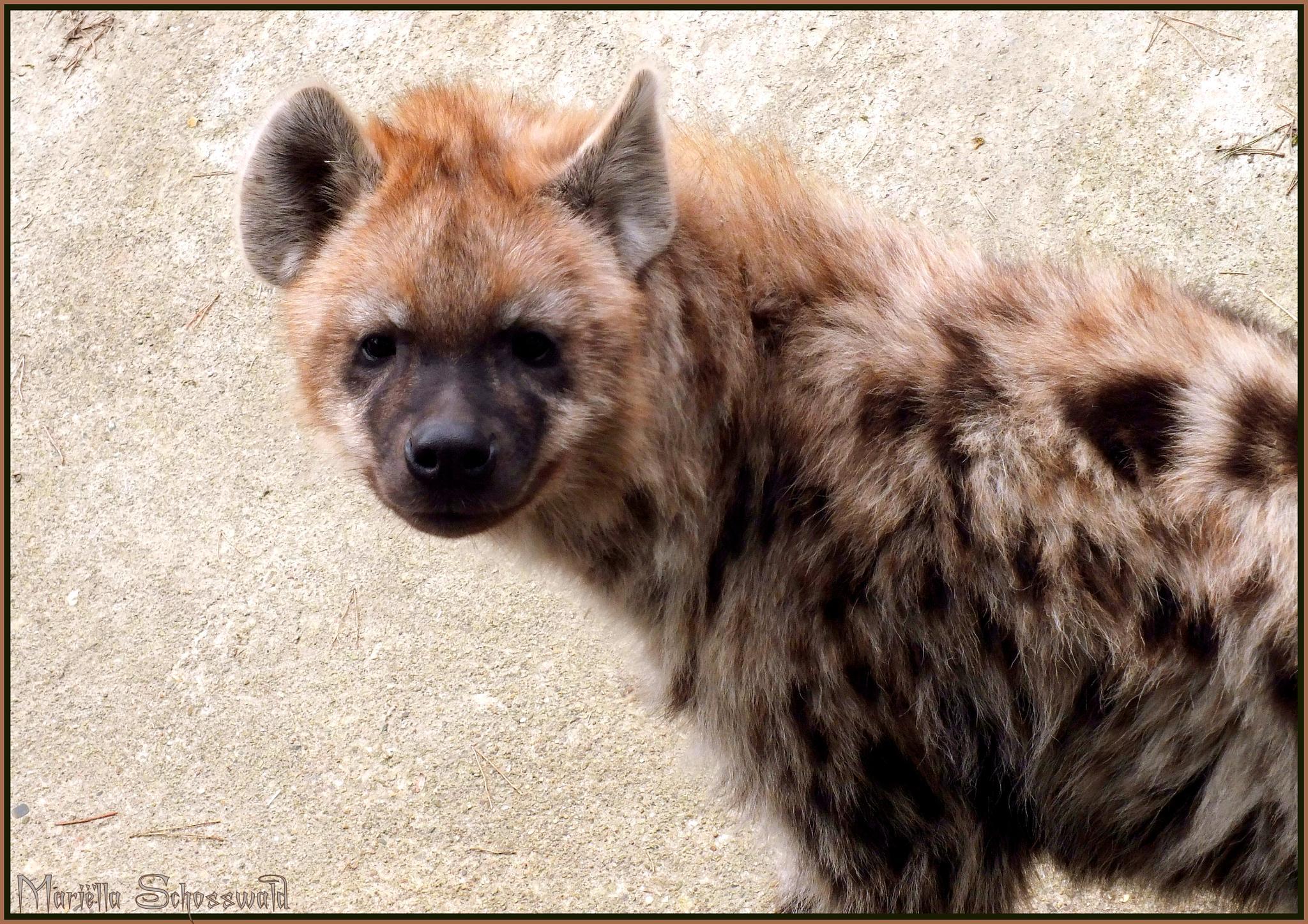 hyena by Mariëlla van der Lans-Schosswald