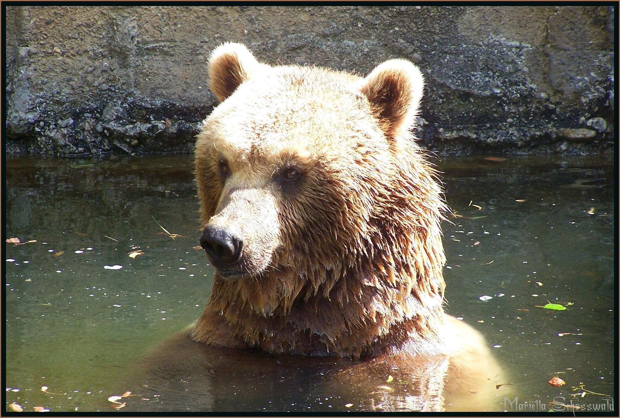 bear taking a bath by Mariëlla van der Lans-Schosswald