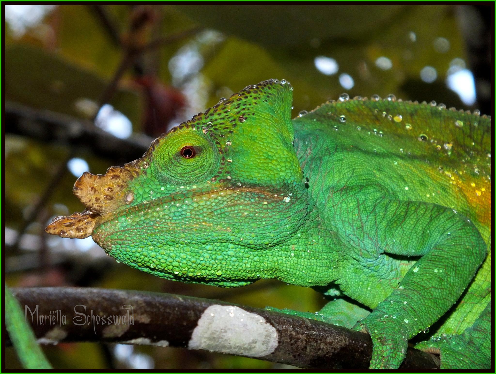 parson's chameleon / Near Threatened / parsons kameleon  by Mariëlla van der Lans-Schosswald