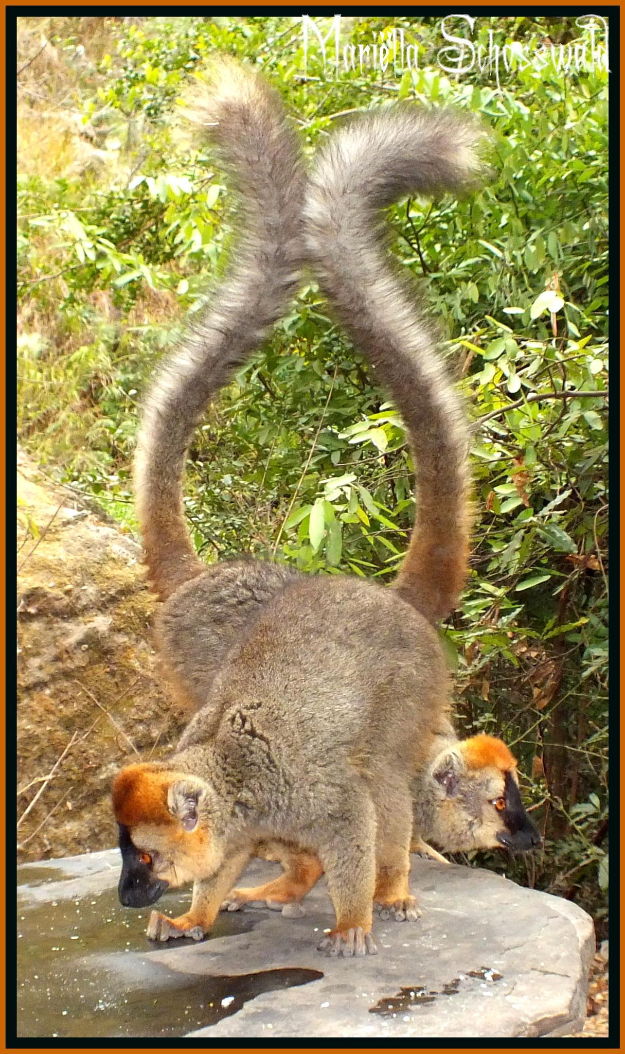 red-fronted lemur (Eulemur rufifrons) by Mariëlla van der Lans-Schosswald