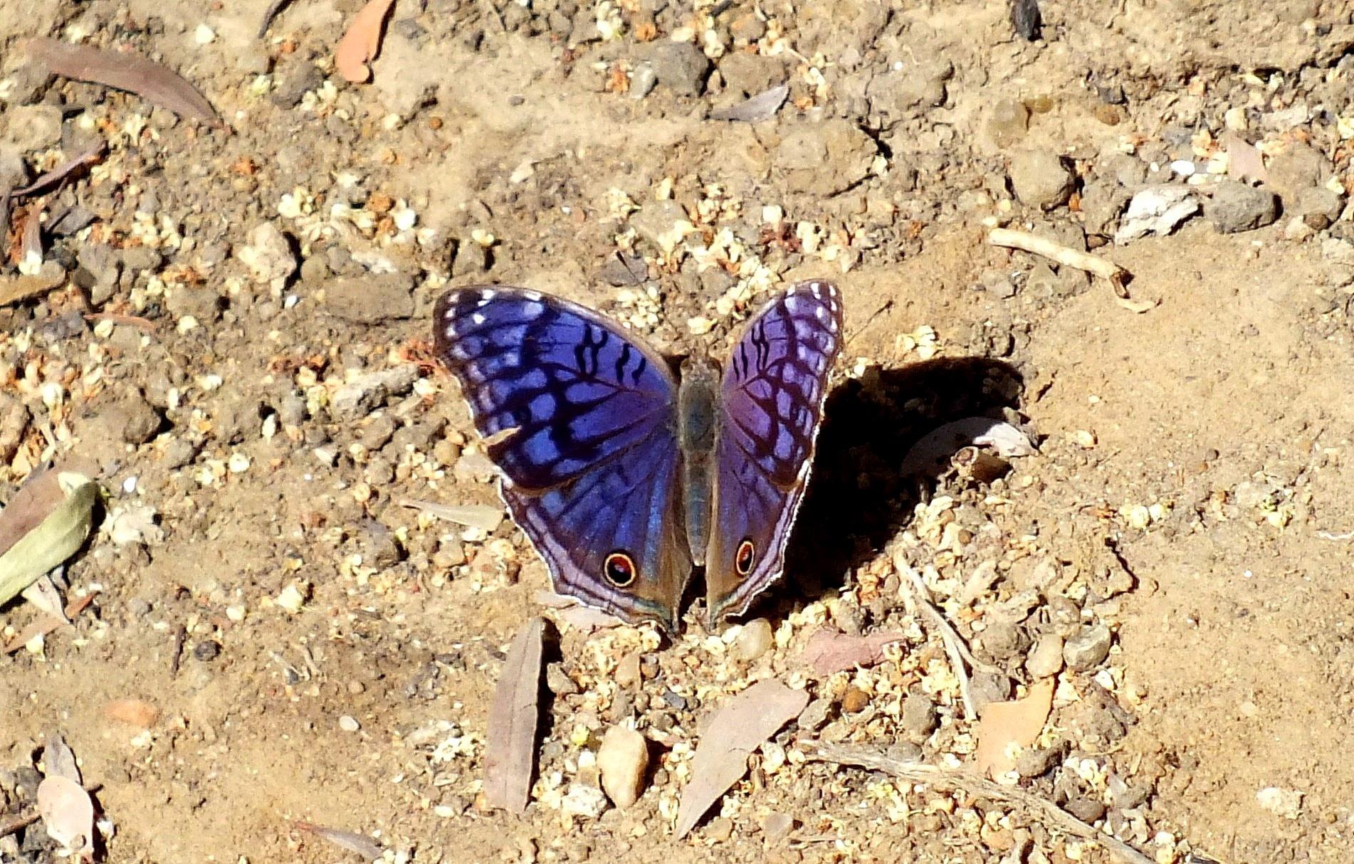 purple butterfly by Mariëlla van der Lans-Schosswald