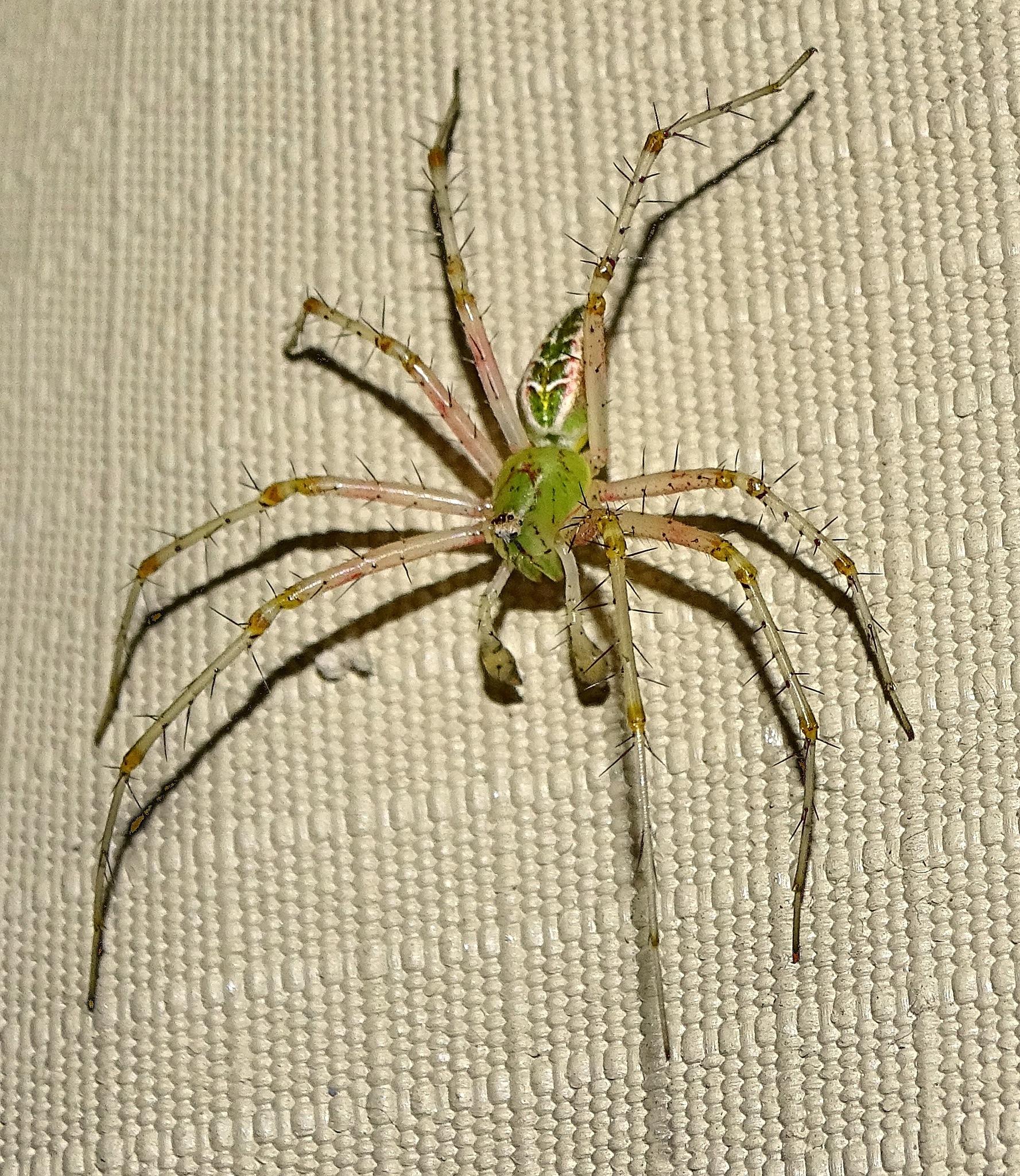 "¥ ""Boxing spider"" by Mariëlla van der Lans-Schosswald"