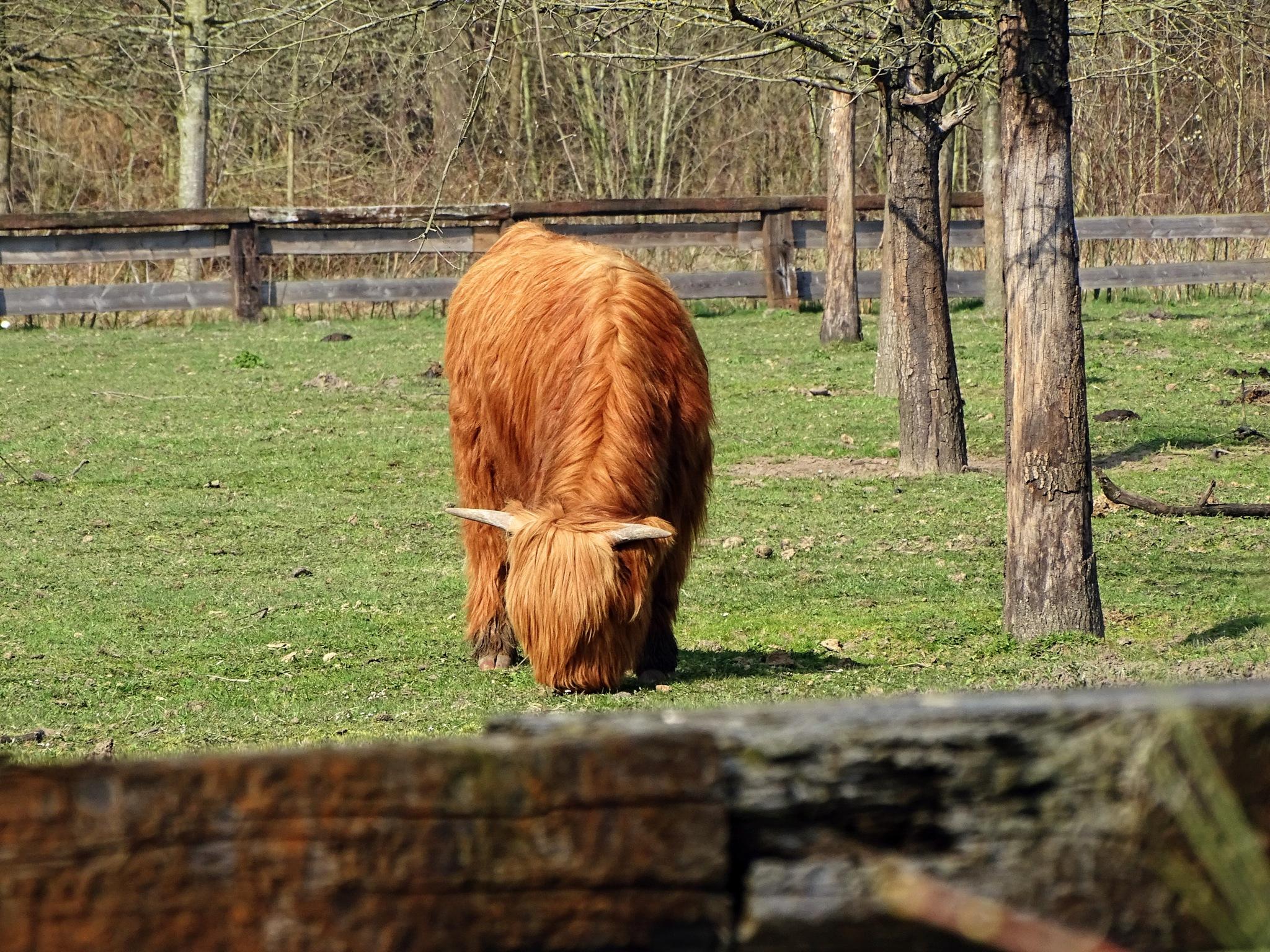Highland cow by Mariëlla van der Lans-Schosswald