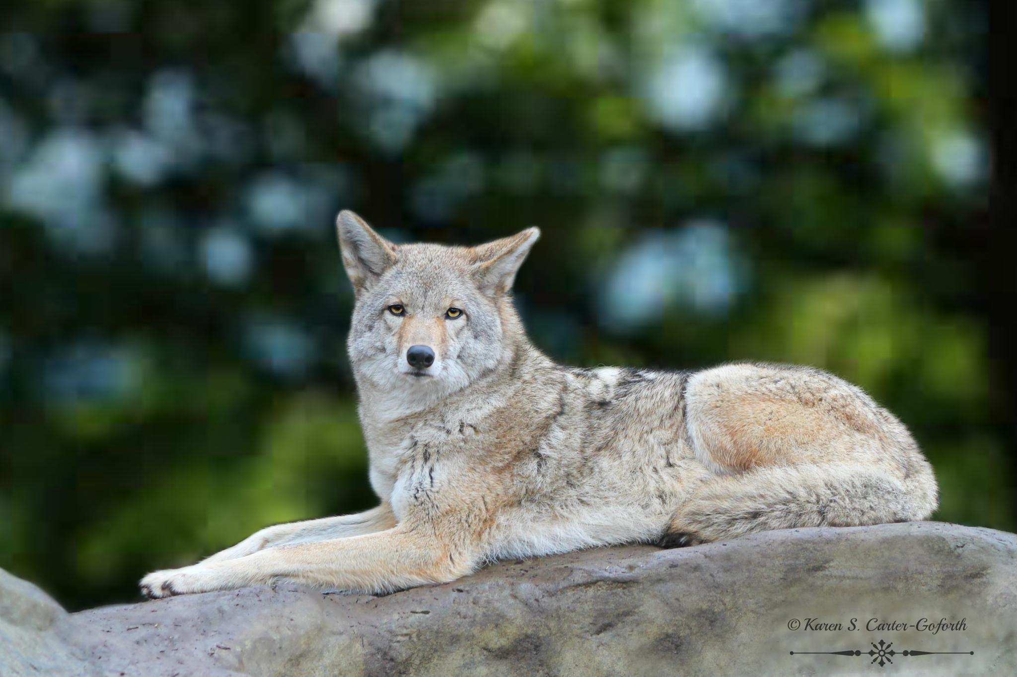 Coyote by Karen Carter-Goforth