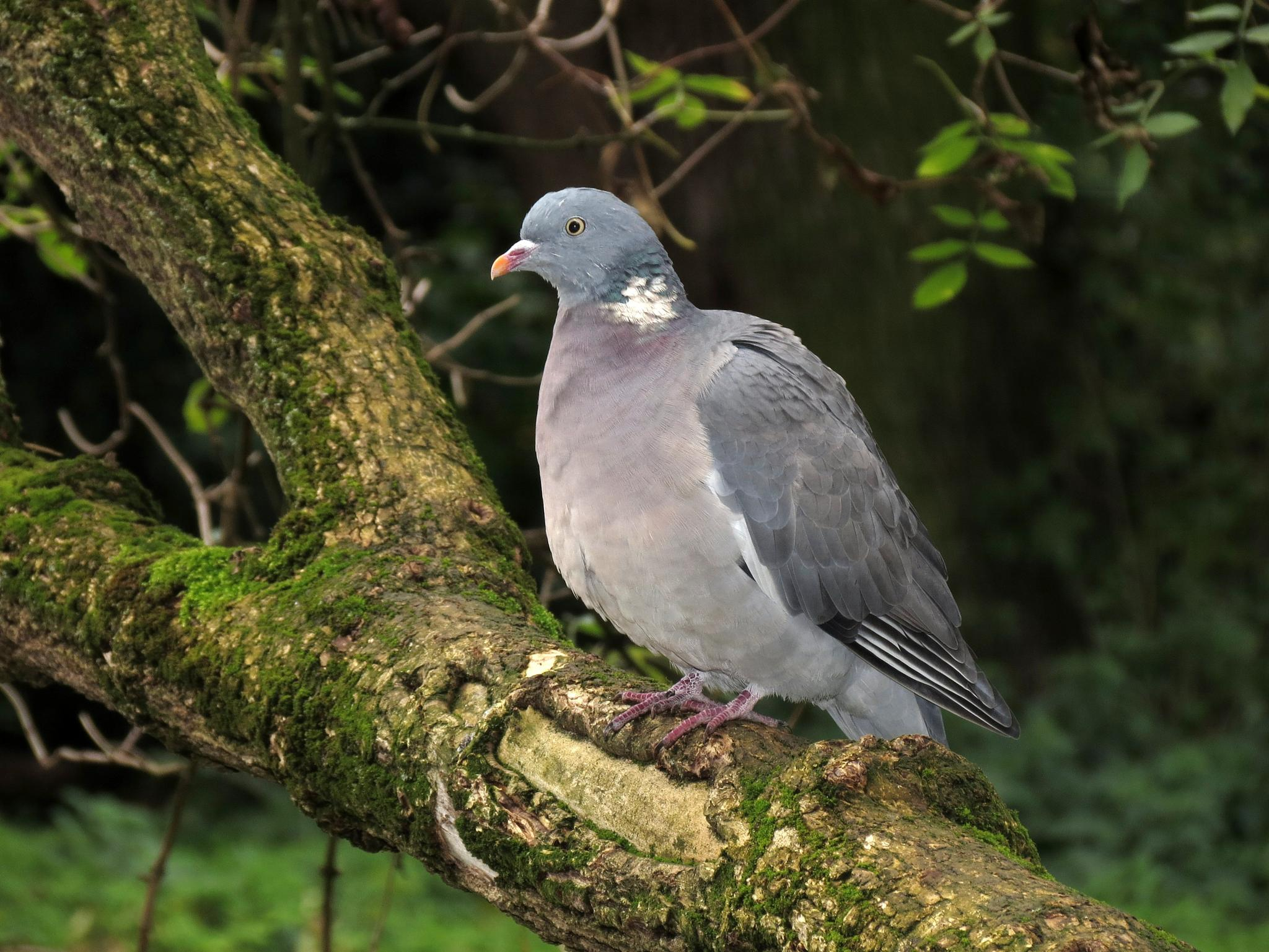Wood Pigeon. (actually in a wood... lol) by charles.fortescue.3