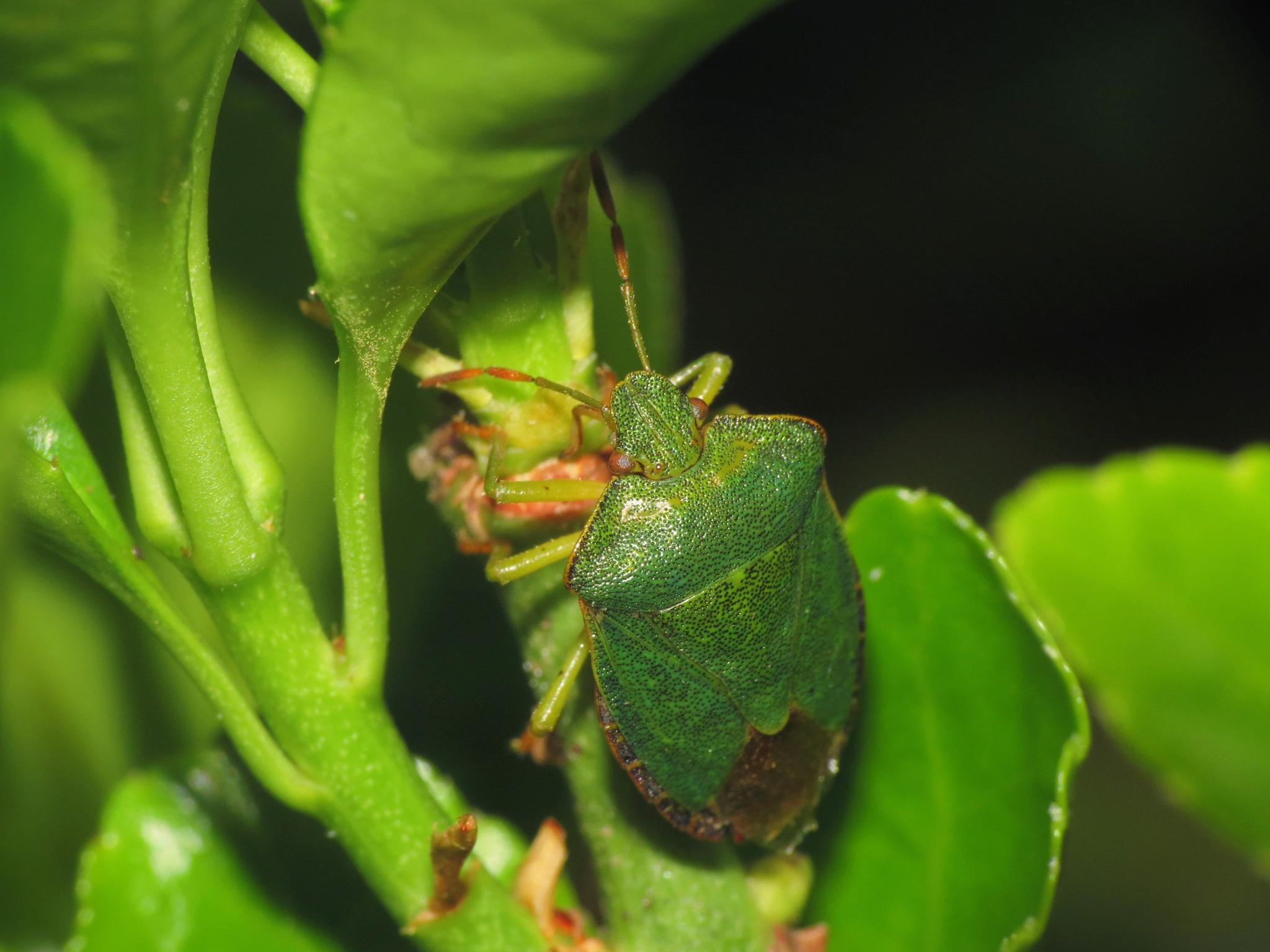 Shieldbug. by charles.fortescue.3