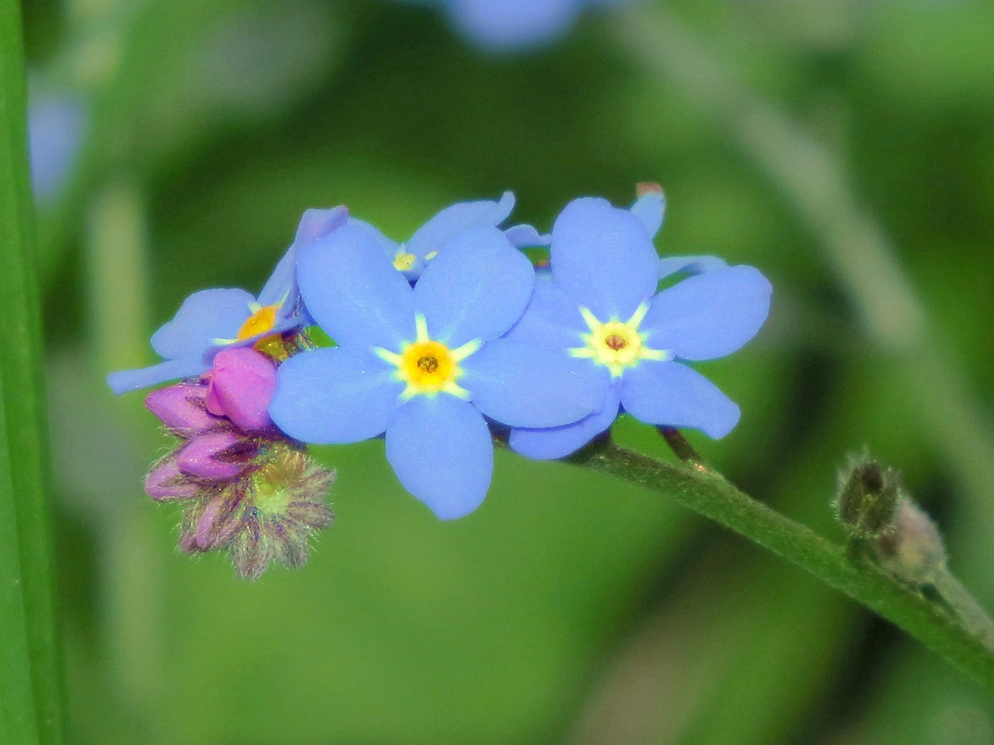Forget-me-nots. by charles.fortescue.3