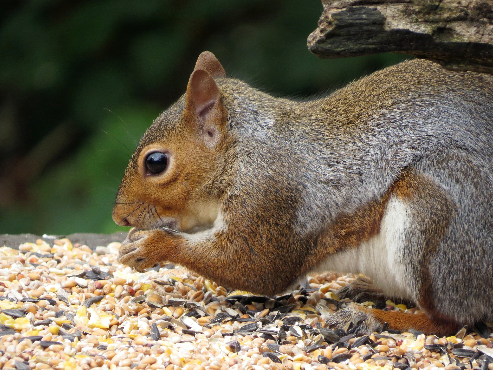 Grey squirrel. by charles.fortescue.3