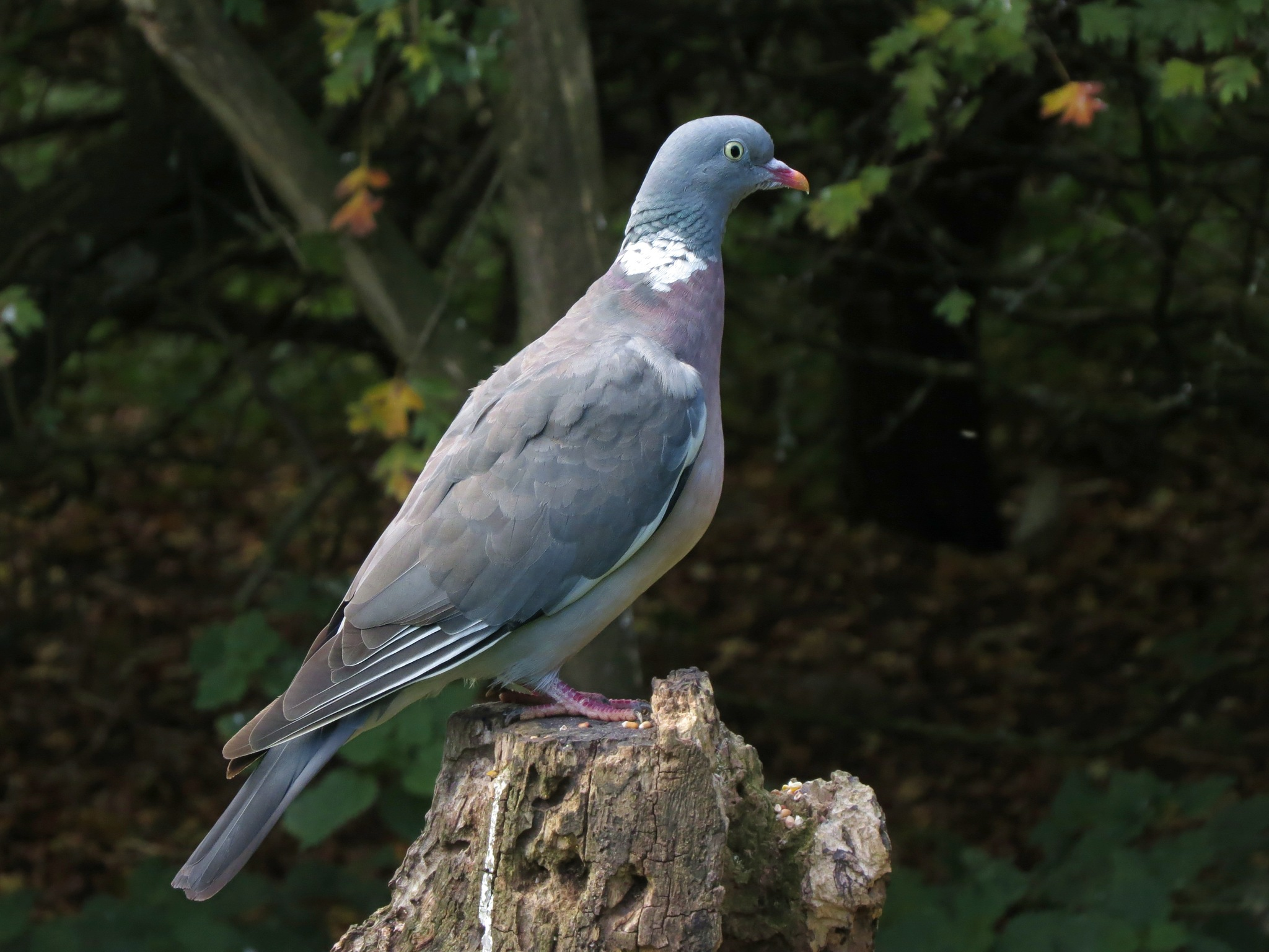 Wood pigeon. by charles.fortescue.3