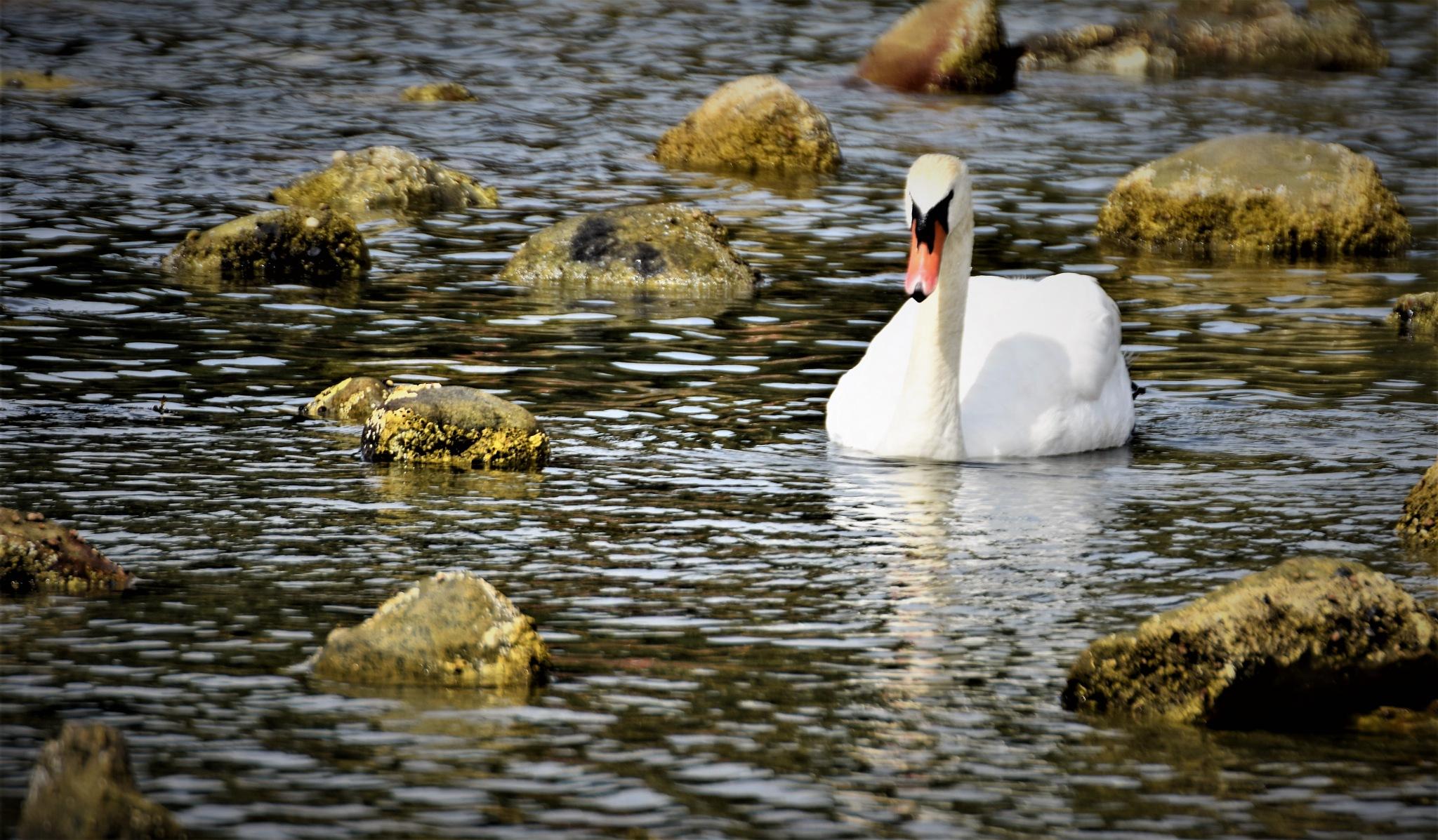 Swan by albert.o.gudbrandsson