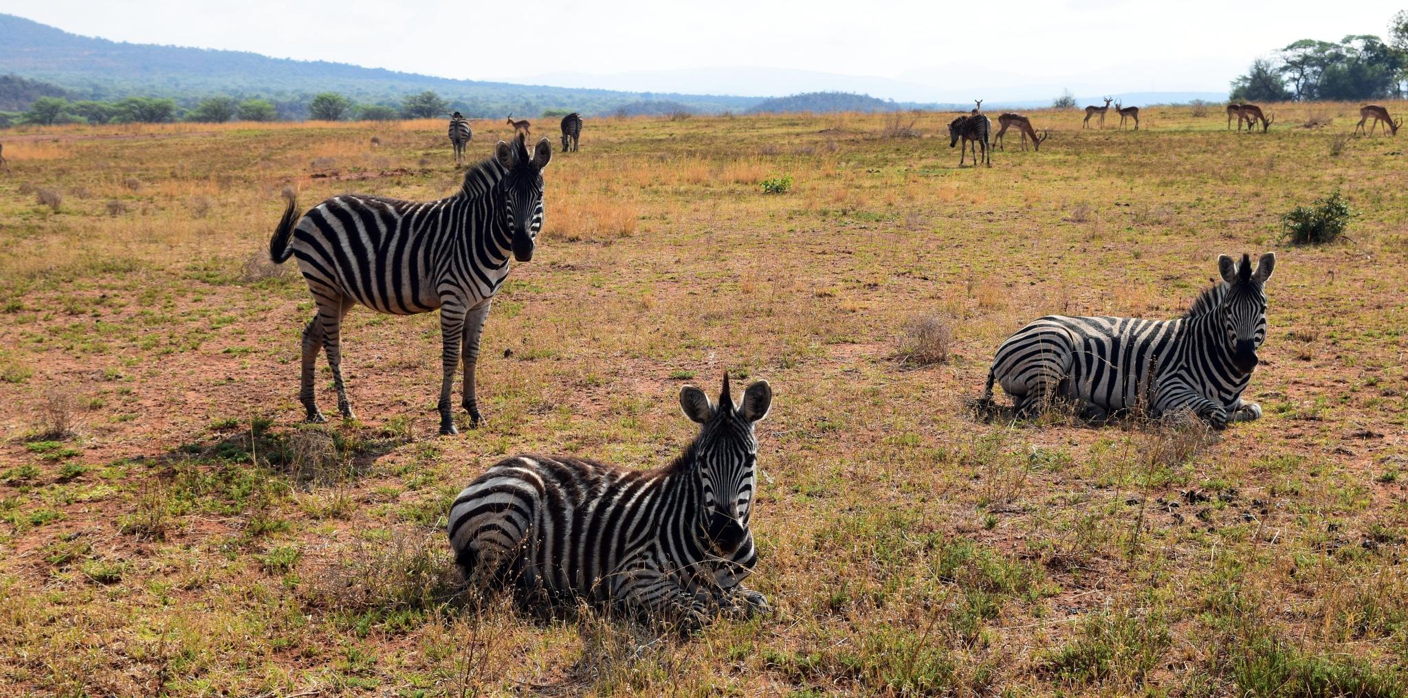 Siesta on savanna by Lars M.