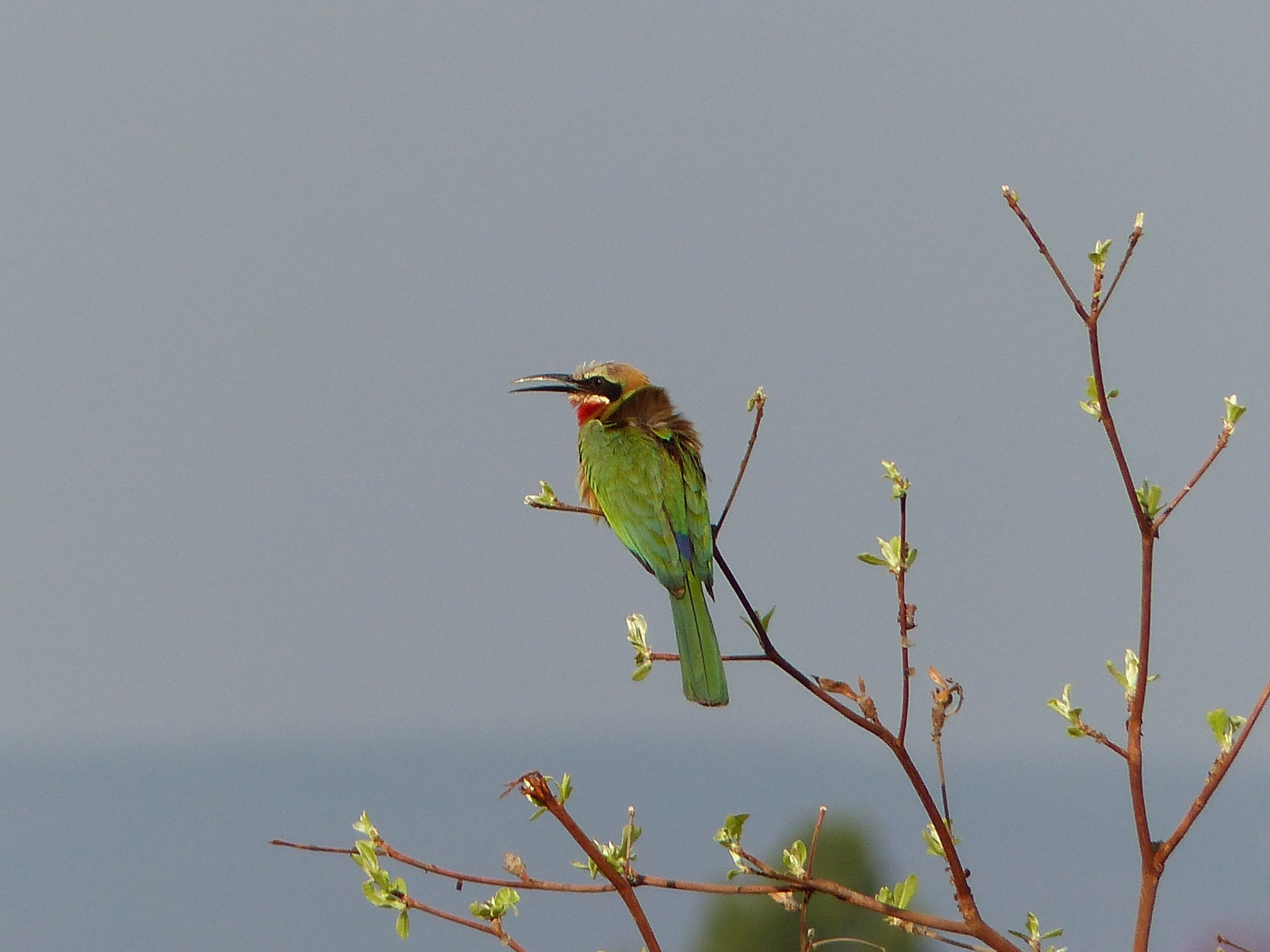 Colourful Swallowtailed Bee-eater  by Lars M.
