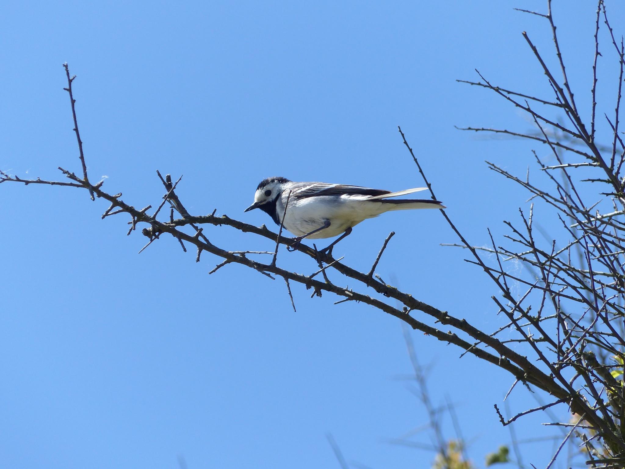 Photo in Animal #wagtail #tree #bush #blue sky
