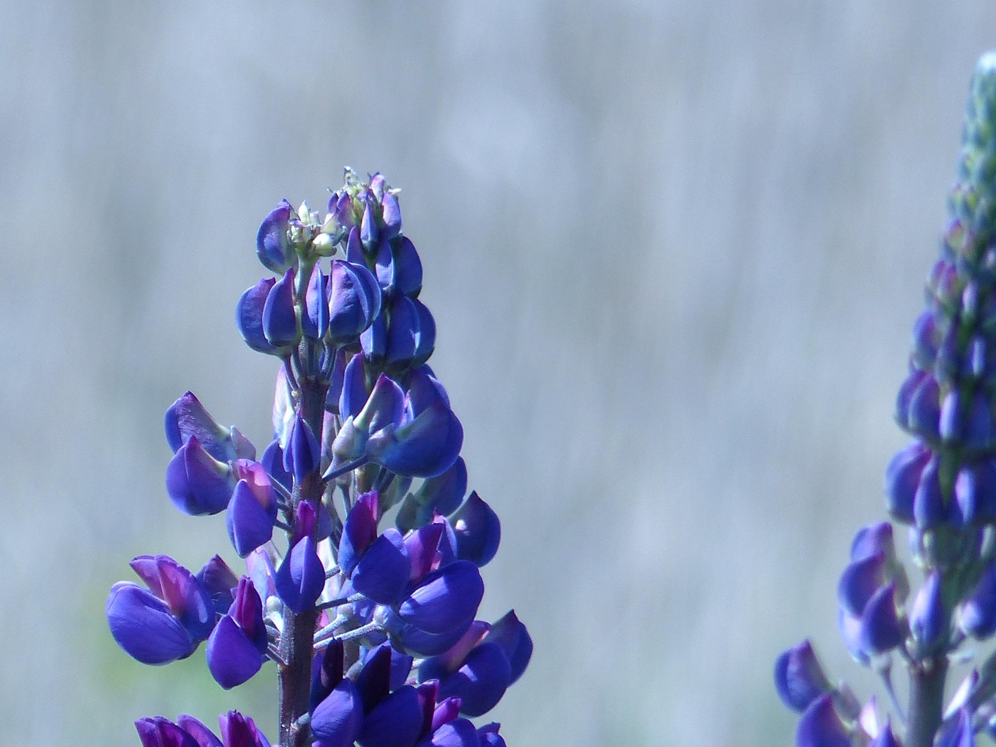 Photo in Landscape #blue #lupine #blurred