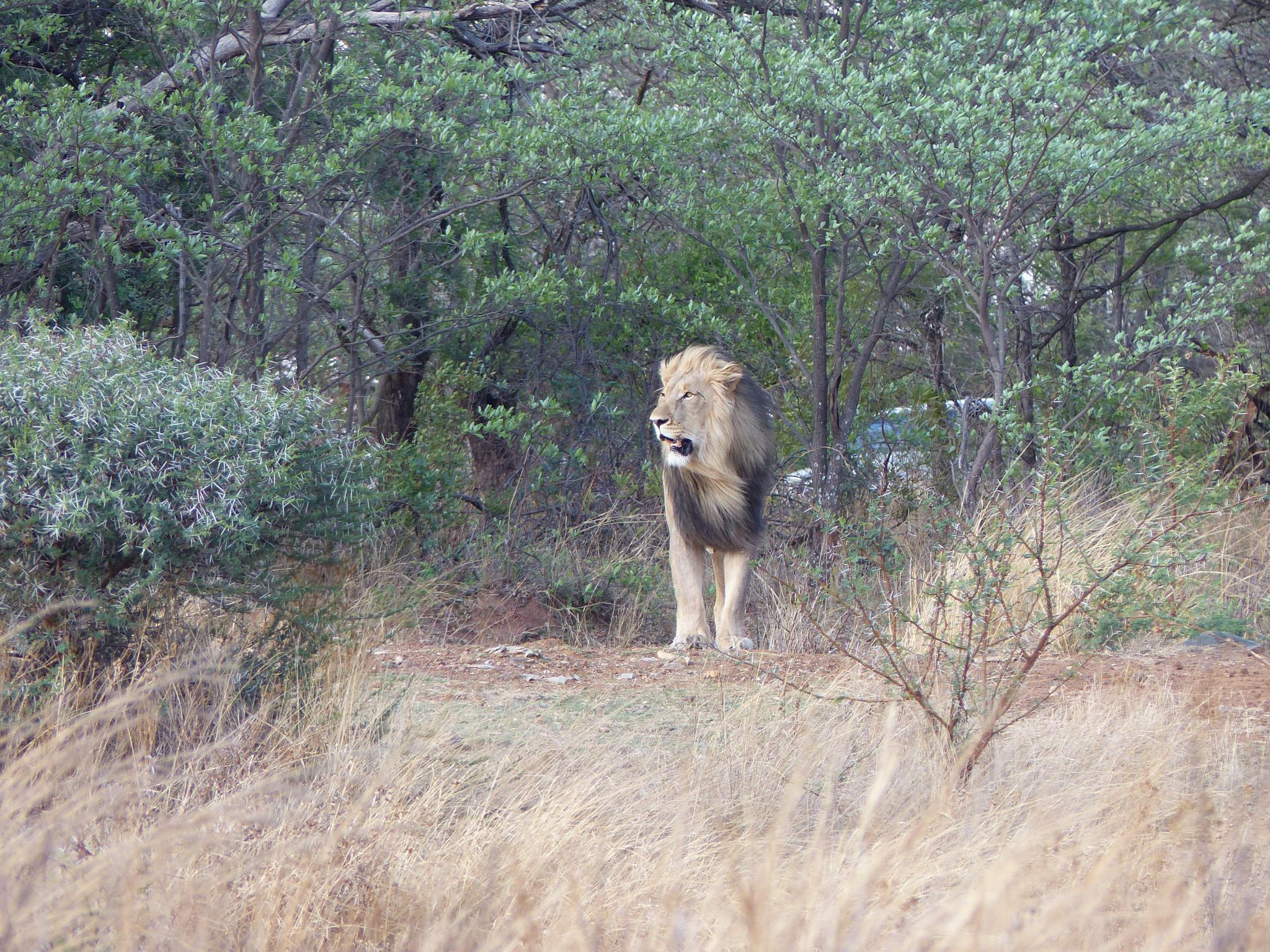 Lion by Lars M.