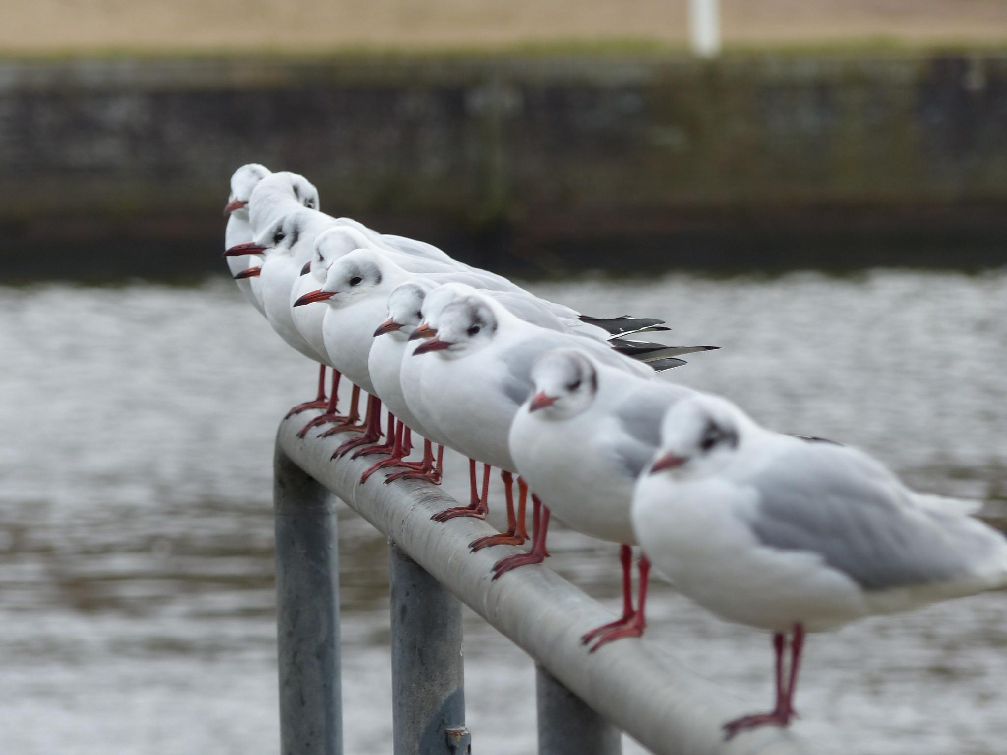 Lübecker seagulls by Lars M.