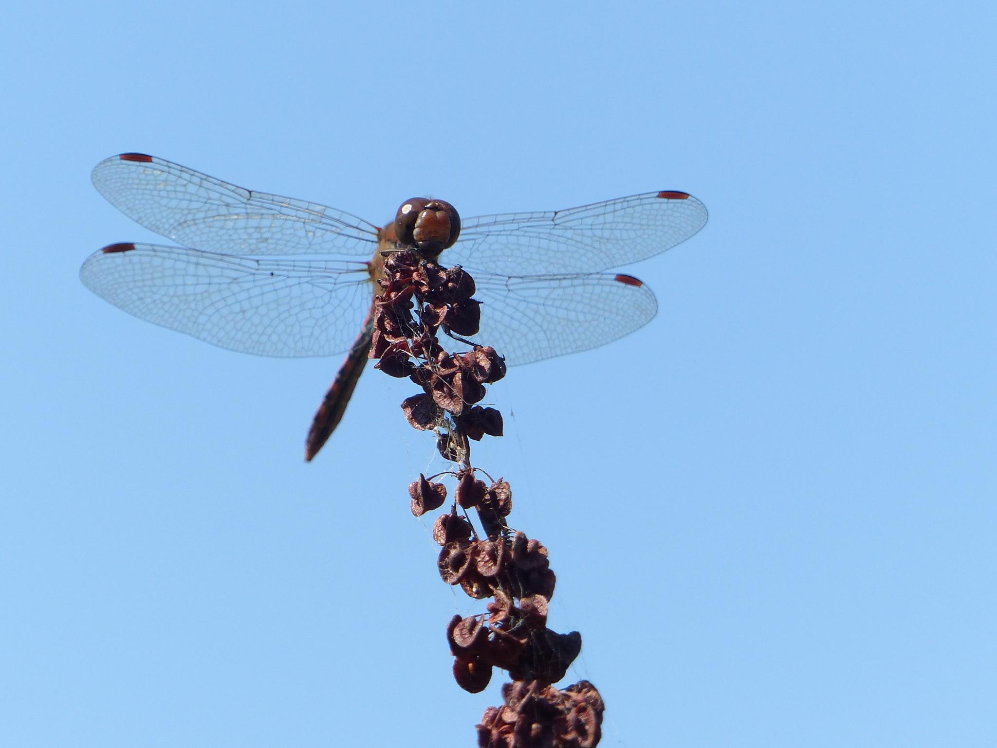 Dragonfly by Lars M.