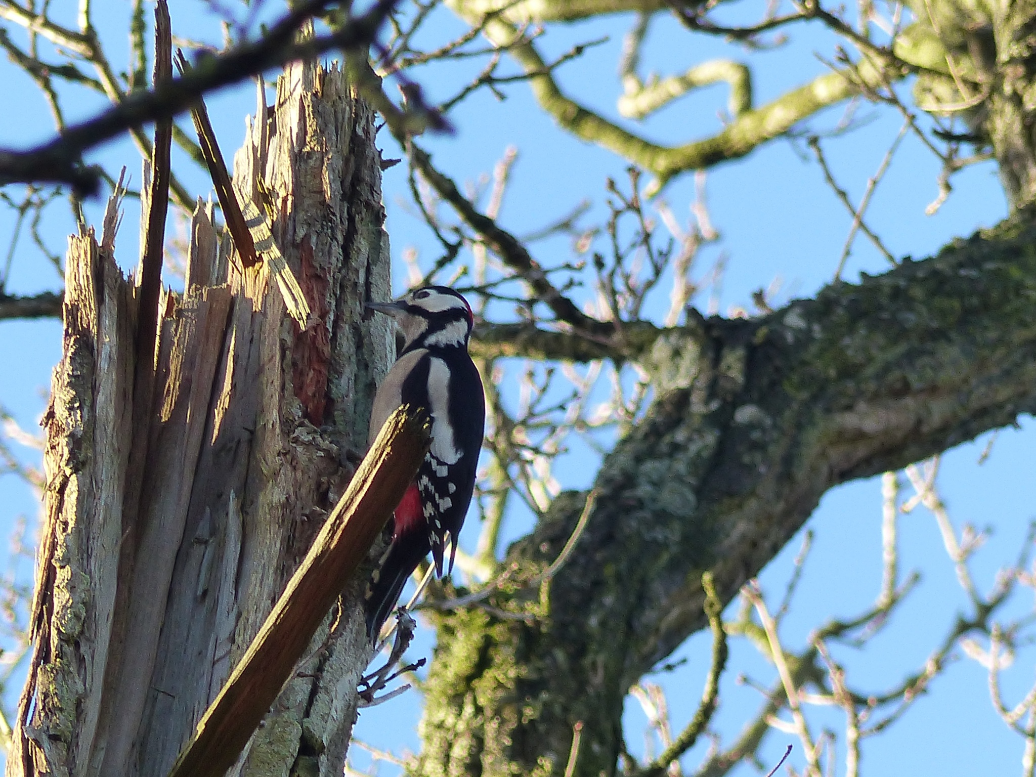 Red spotted woodpecker by Lars M.