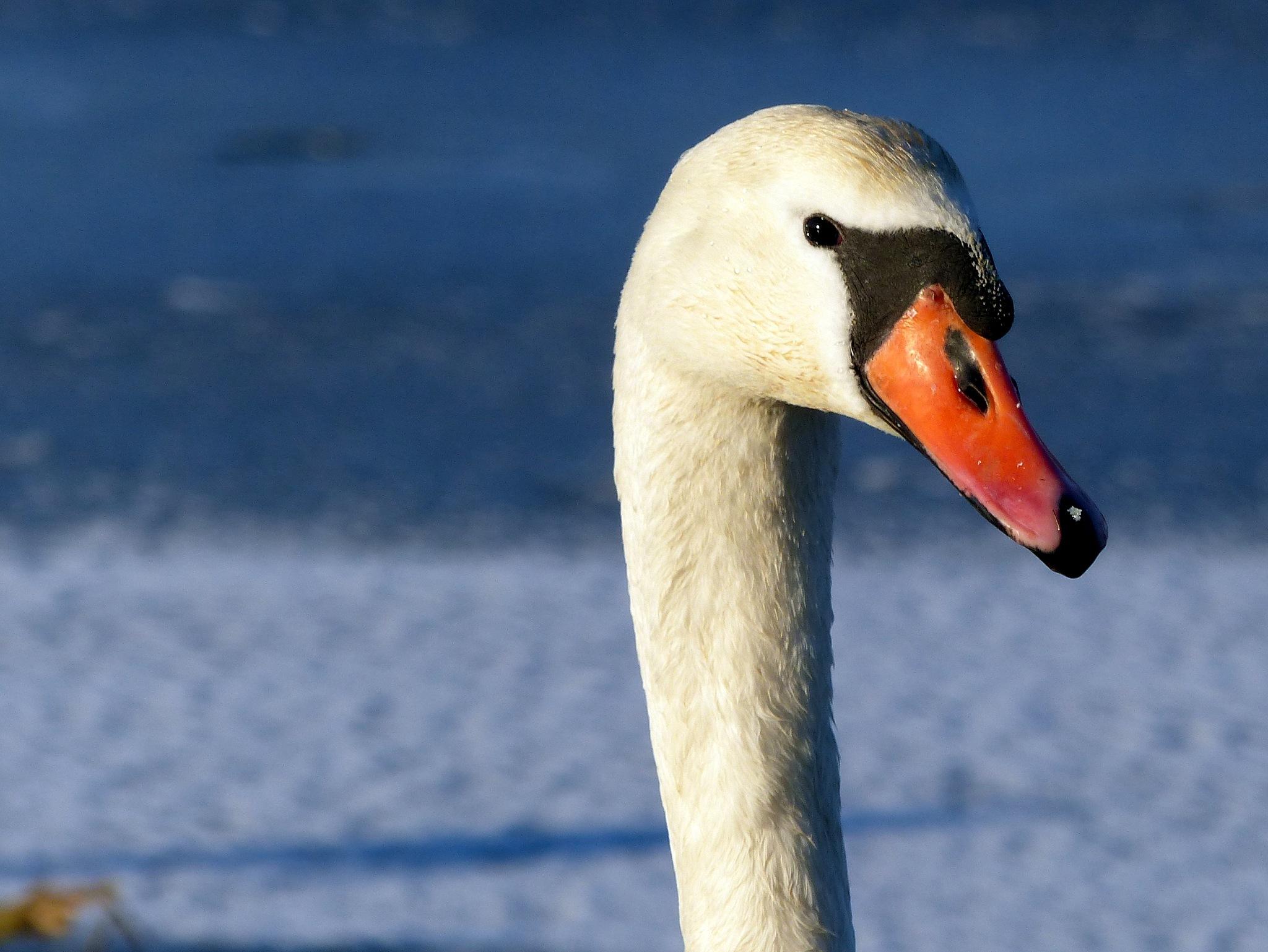 Swan by Lars M.