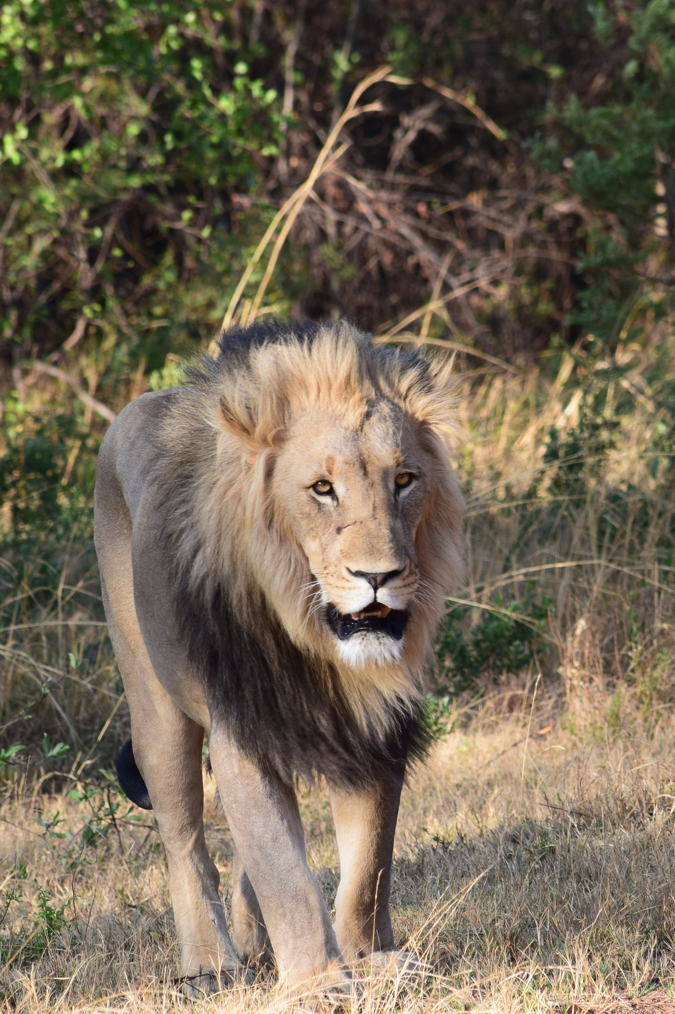 Lion approaching by Lars M.